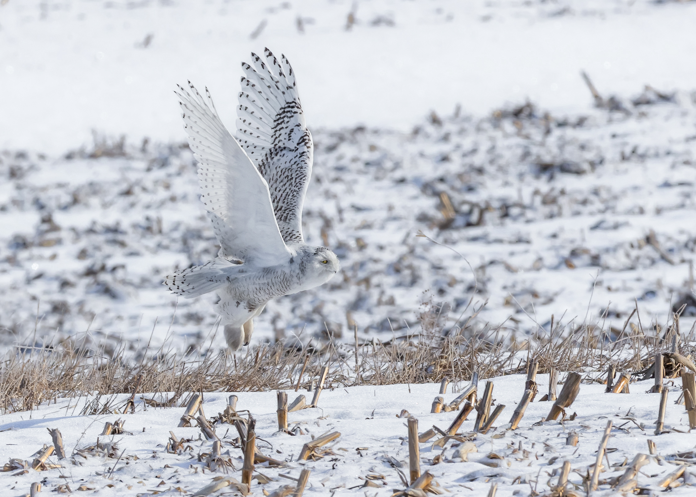 Snowy owl, photo by Monica Hall