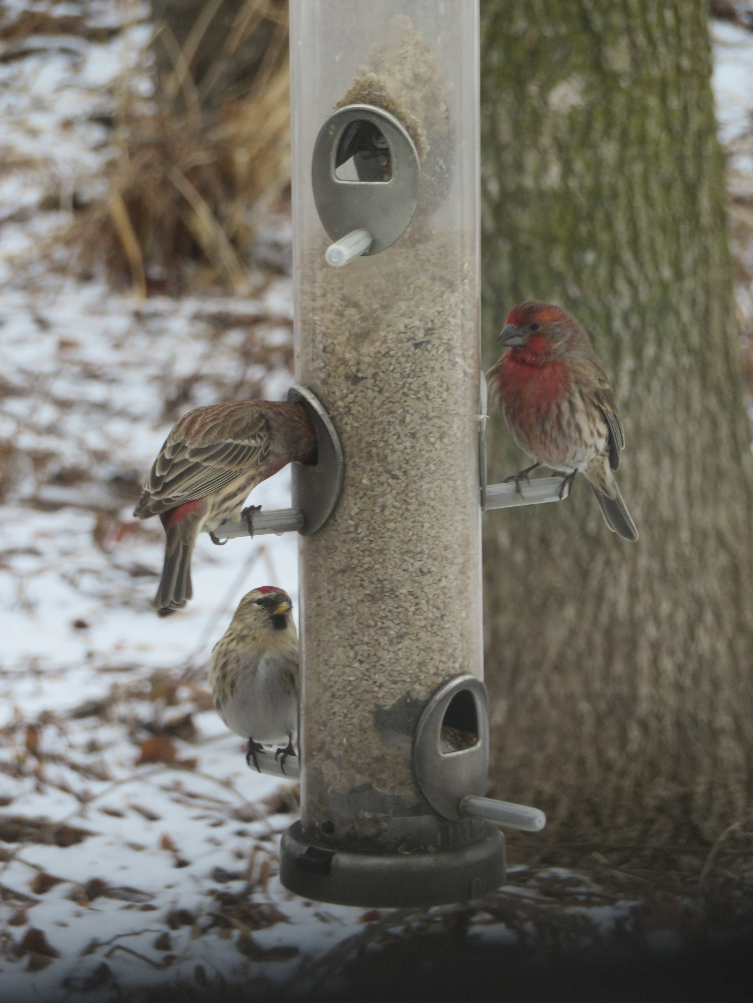 House finches (with the red faces and breasts) and common redpoll (with the red cap) feasting during the GBBC. Photo by Maddie Dumas