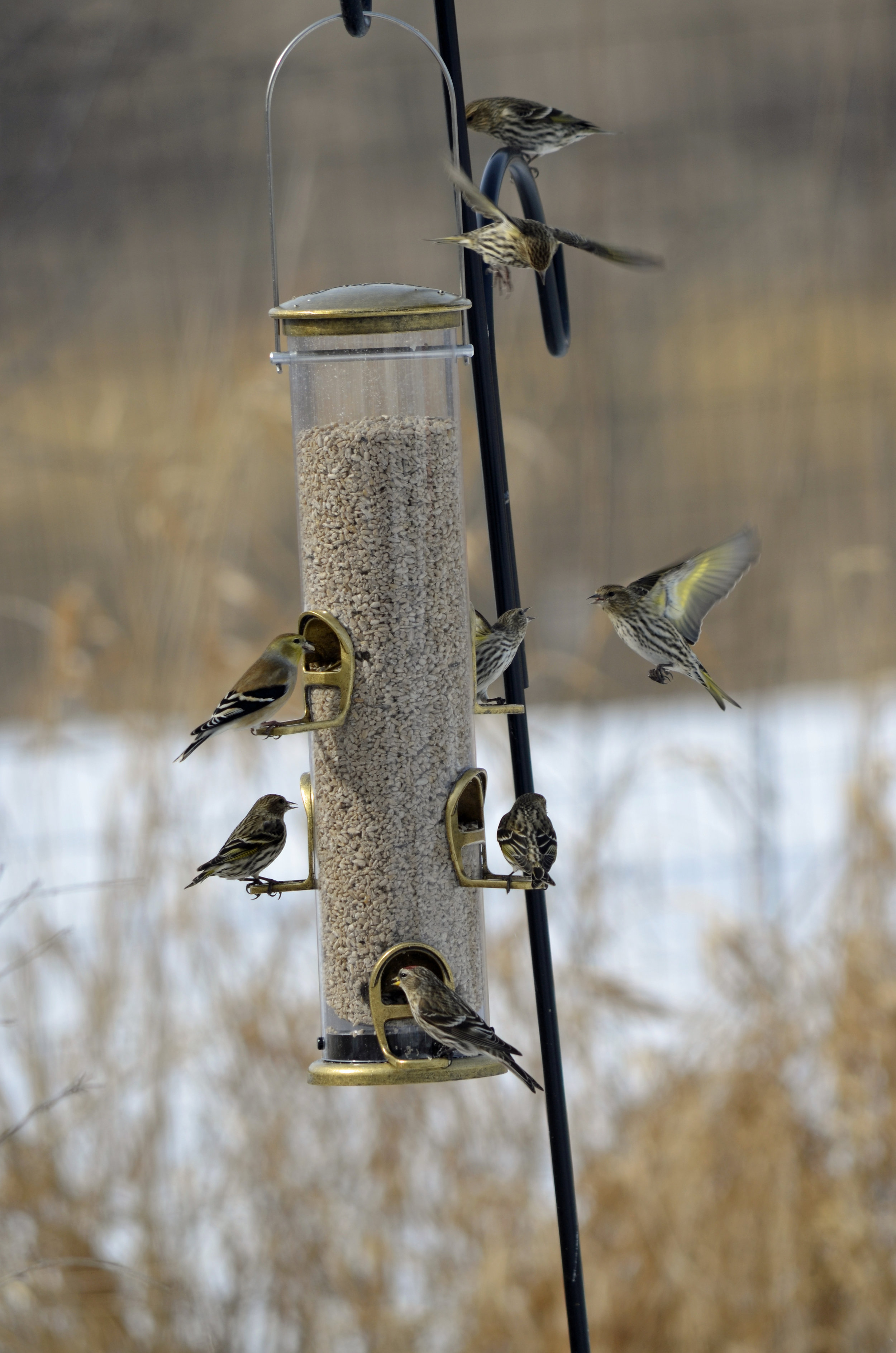 Goldfinch (top left), common redpoll (bottom center), and pine siskins (all the rest) converge on one feeder at Wildland. Photo by Mark Martin