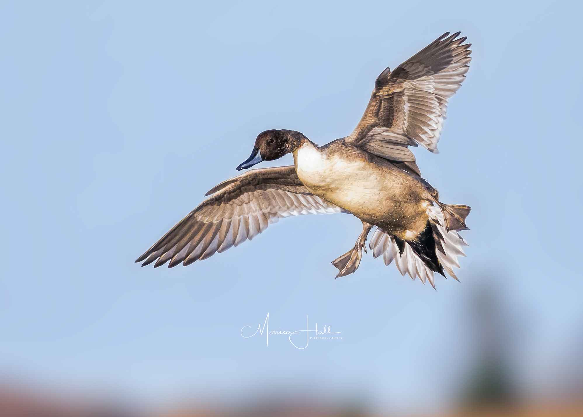 Northern pintail, photo by Monica Hall