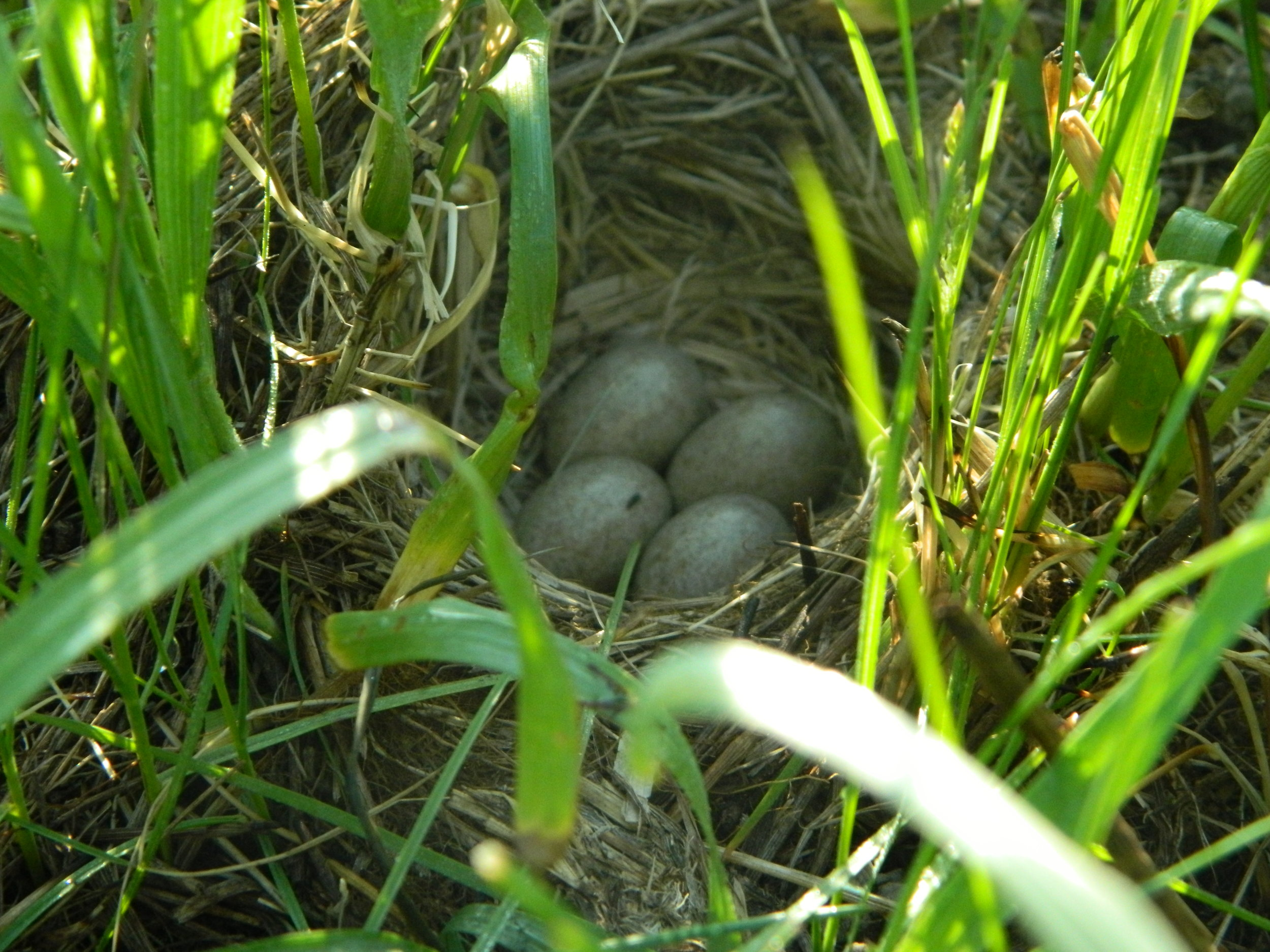 Horned lark eggs tucked into their nest amongst the grasses. Photo by Carolyn Byers