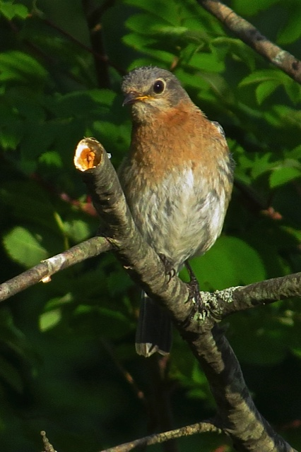 Female eastern bluebird. Photo by Pat Ready