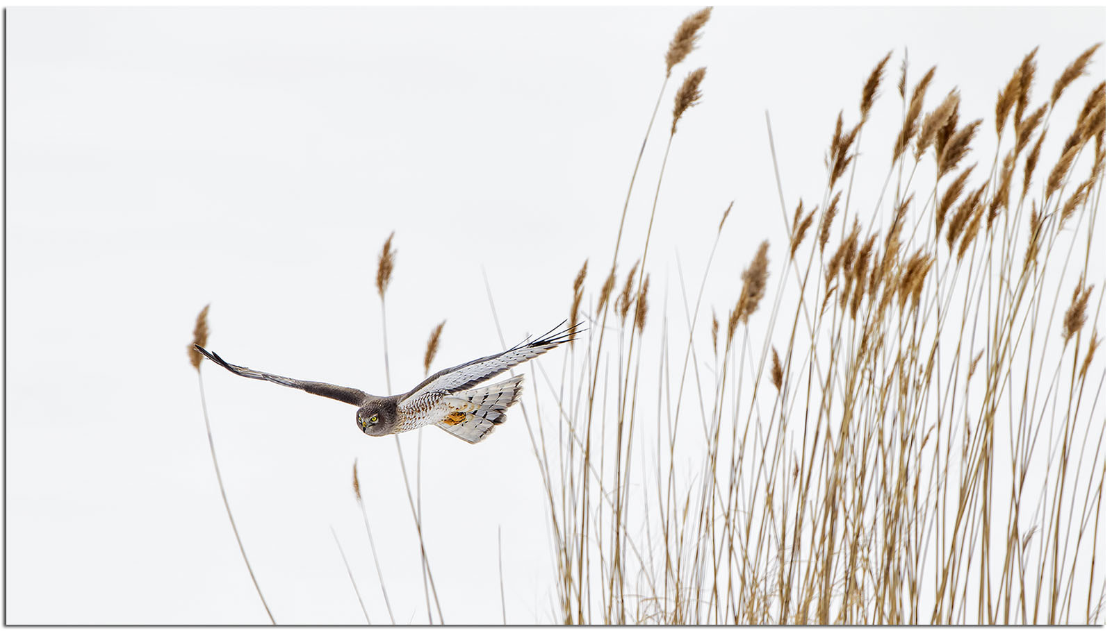 A Northern Harrier plans its next move. Photo by Phil Brown.