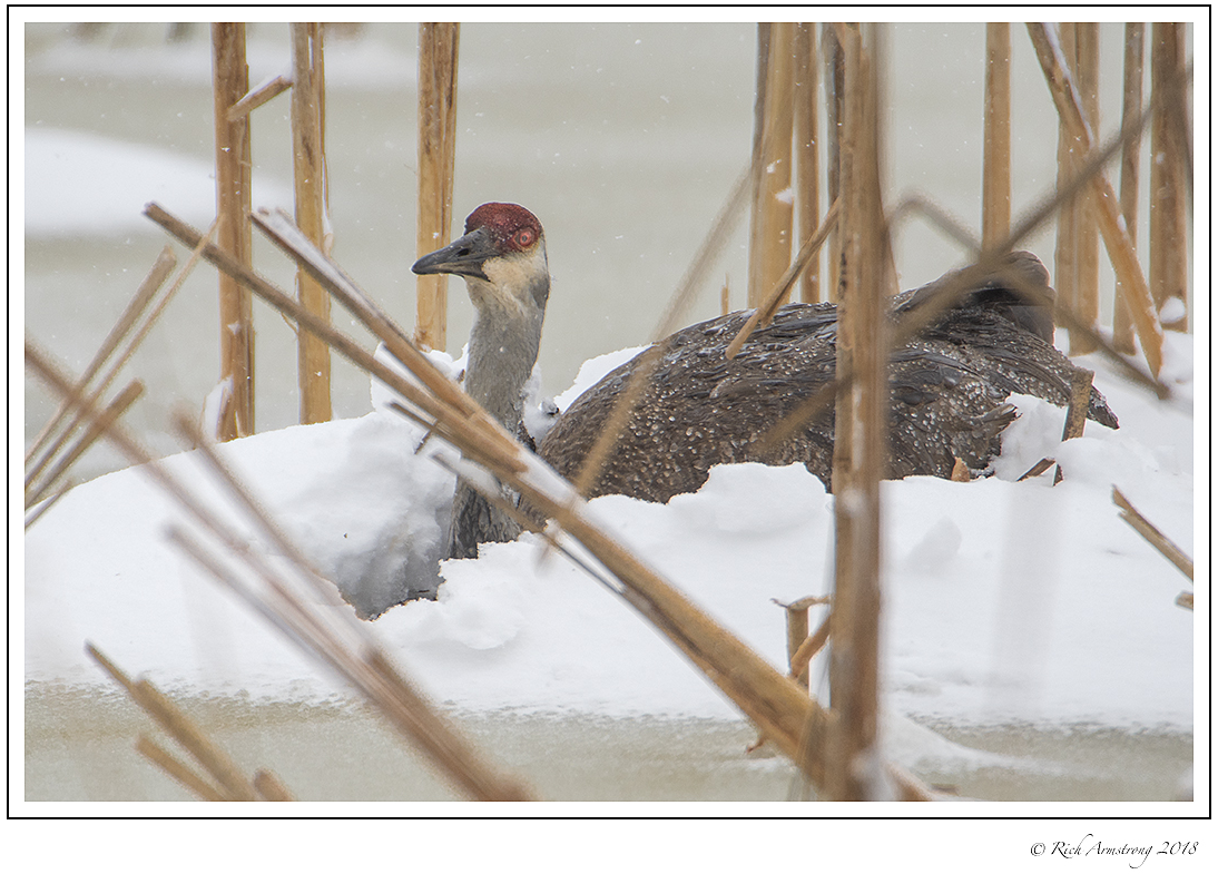 A sandhill crane remains on the nest through an April snowstorm. Photo by Richard Armstrong