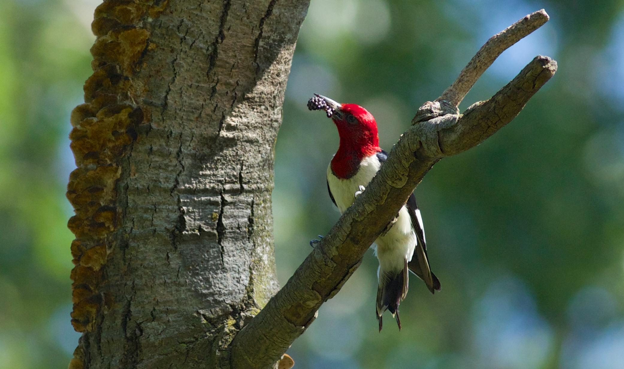 Red-headed woodpecker, photo by Arlene Koziol