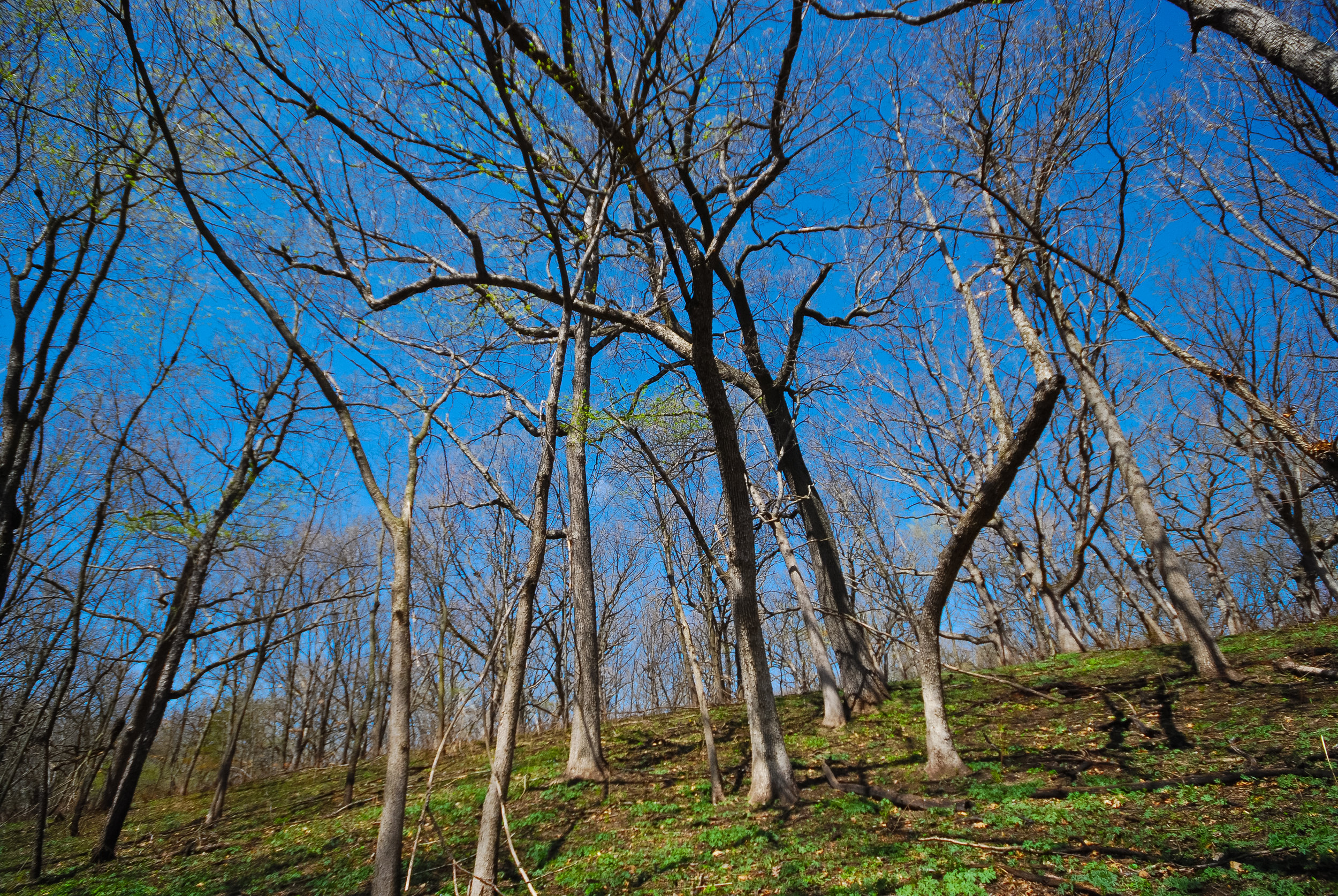 Spring in a Wisconsin oak savanna, photo by Joshua Mayer