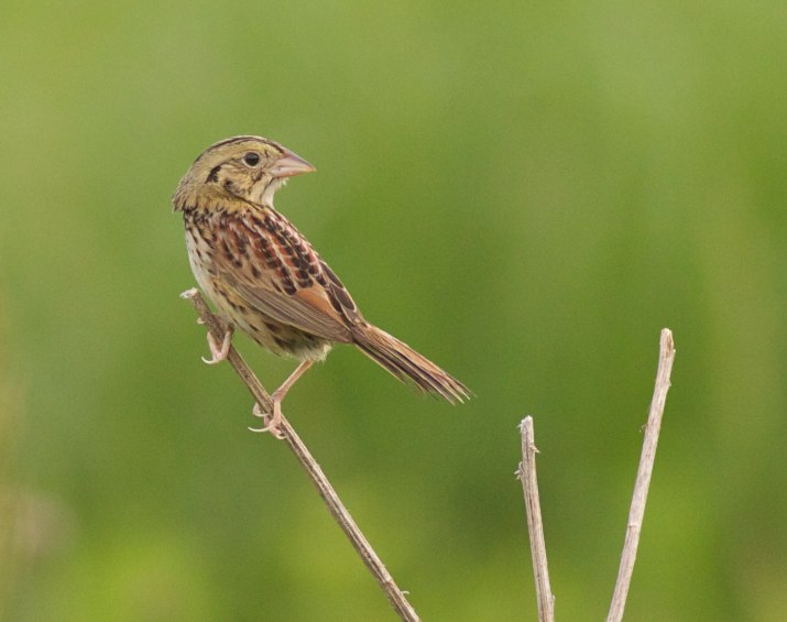 Henslow's sparrows are beginning to return to Wisconsin for the summer. Photo by Arlene Koziol