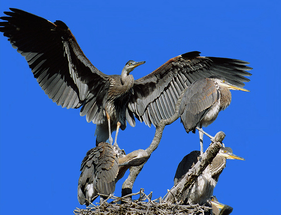 Four great blue heron on their nest tree. Photo by Richard Armstrong