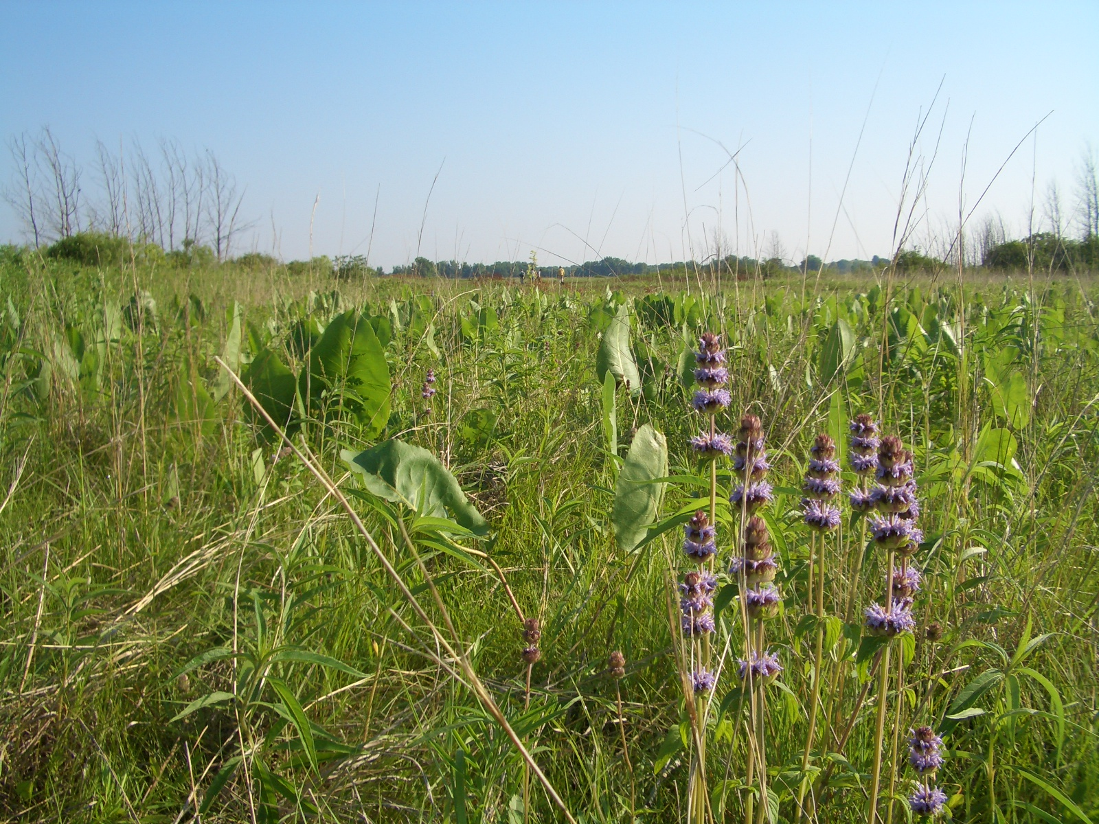 The beautifully restored prairies at MAS Faville Grove Sanctuary are a great example of nesting habitat for grassland birds. Photo by Brenna Marsicek