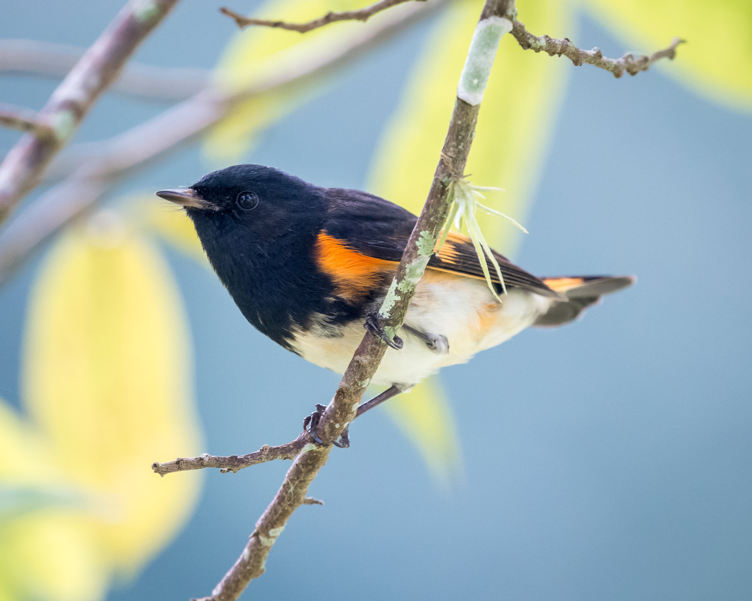 American redstart, photo by Becky Matsubara
