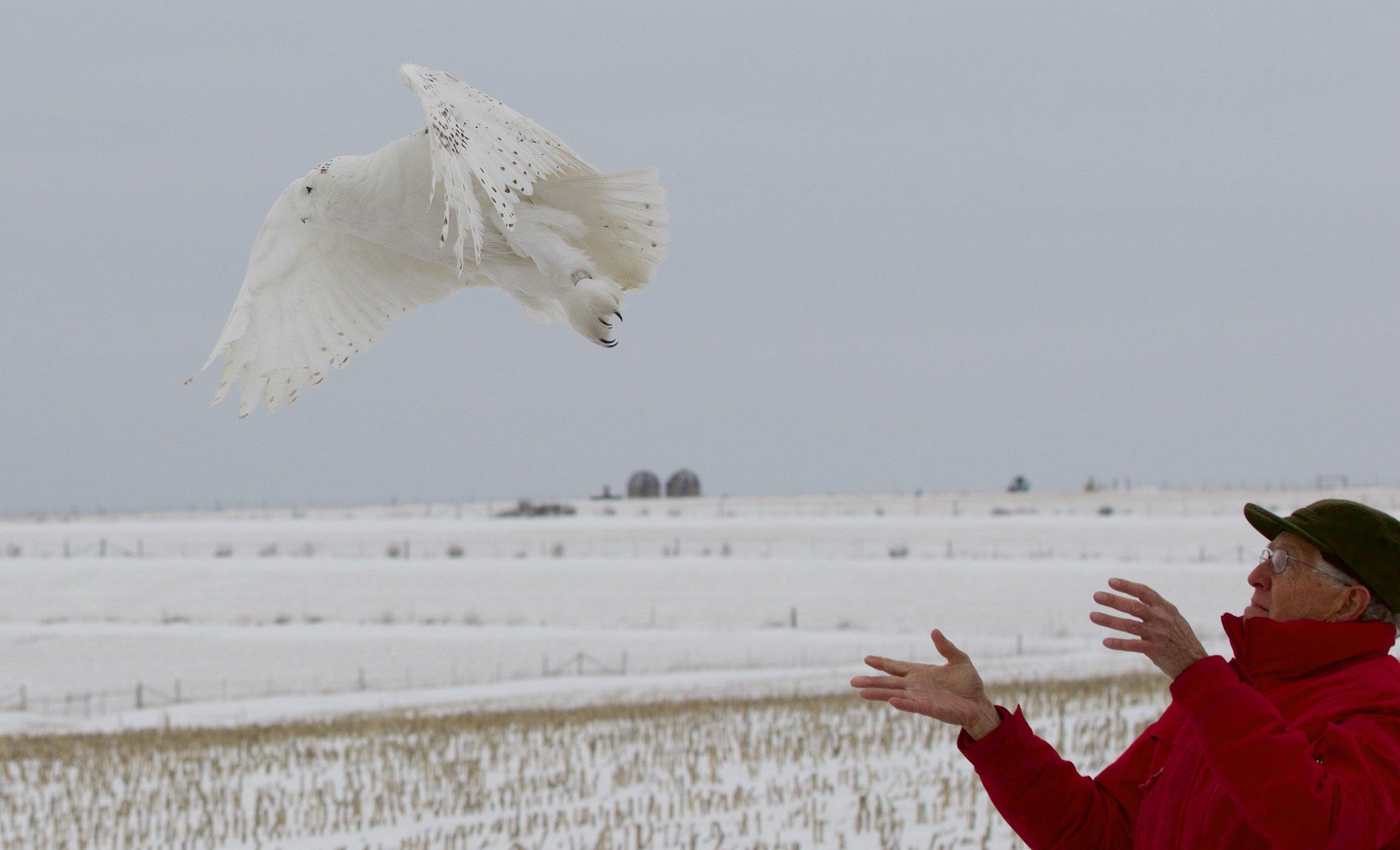 Releasing a Snowy Owl