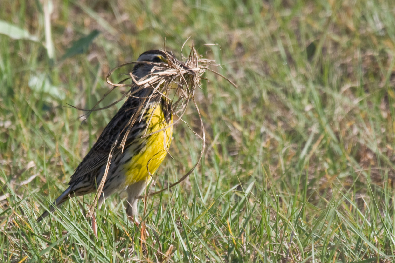 An eastern meadowlark gathers materials to do some housework. Photo by Matthew Paulson