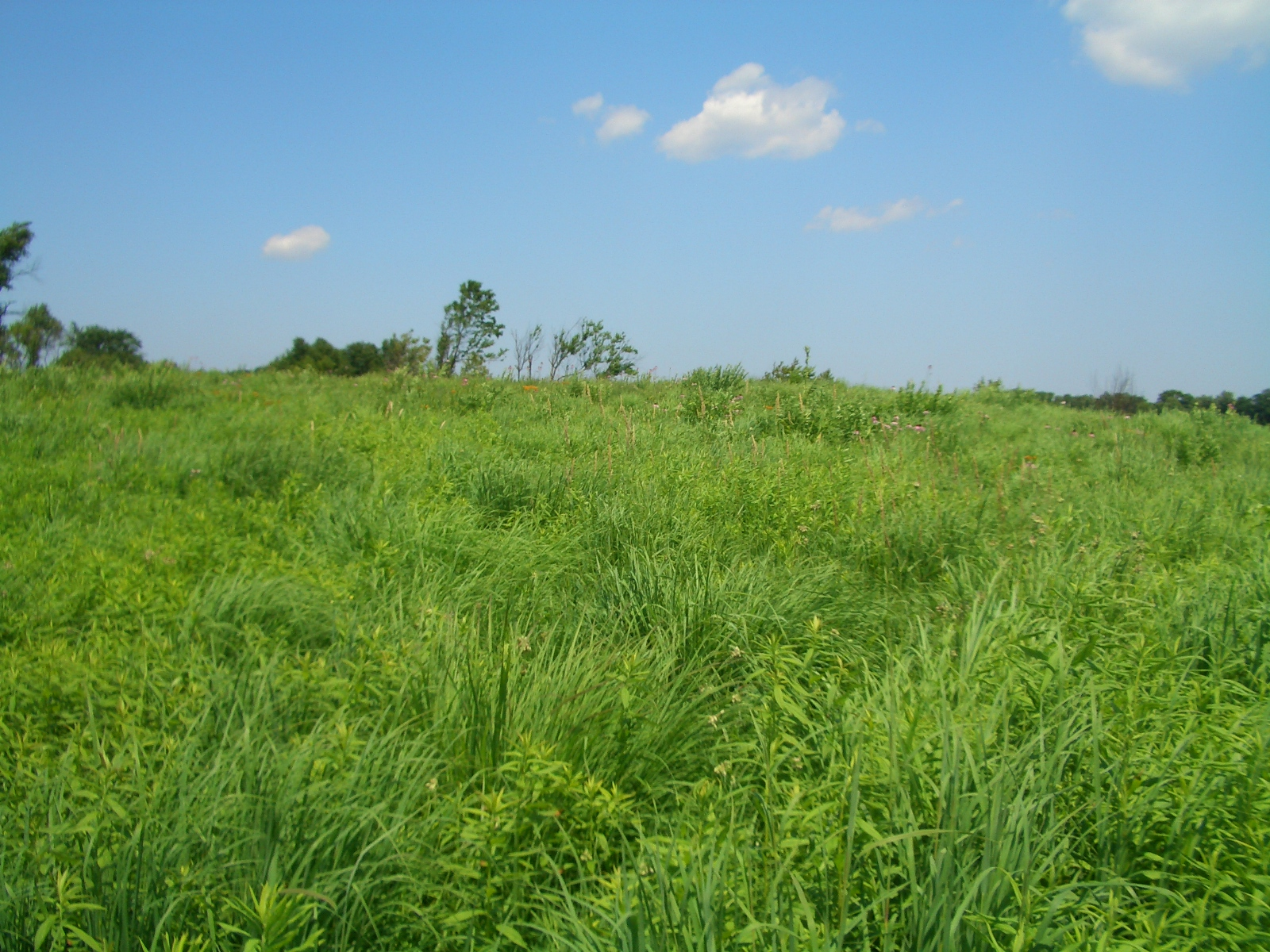 A thriving tallgrass prairie at MAS Faville Grove Sanctuary hosts all sorts of secretive birds. Photo by Brenna Marsicek