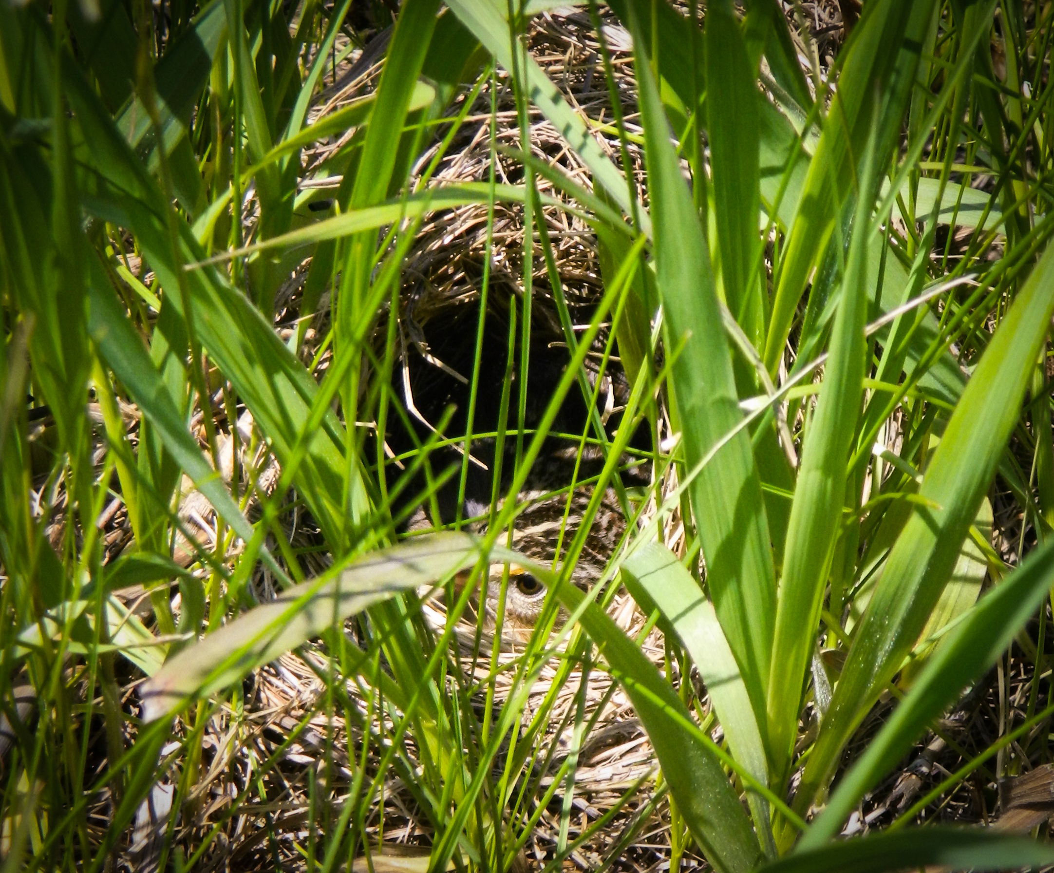 A grasshopper sparrow sits tight on her eggs during a nest check. Can you spot her eye? Everything about this nest and bird is working to keep those eggs camouflaged and safe. Photo by Carolyn Byers