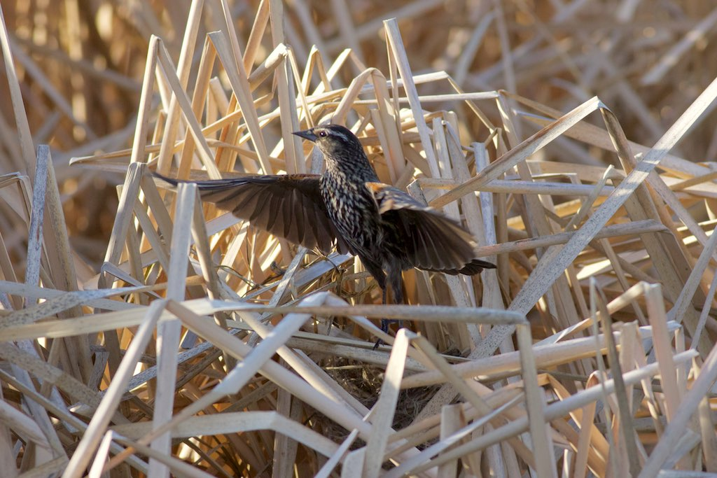 A female red-winged black bird emerges from her hidden nest. Photo by Arlene Koziol