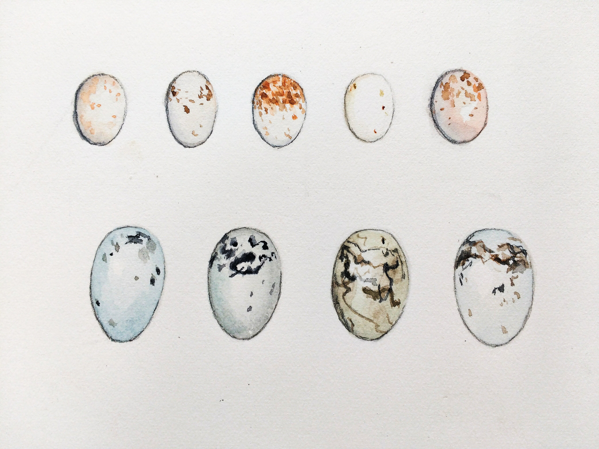 Common yellowthroat egg variation on top, with red-winged blackbird eggs on the bottom. Artwork by Carolyn Byers