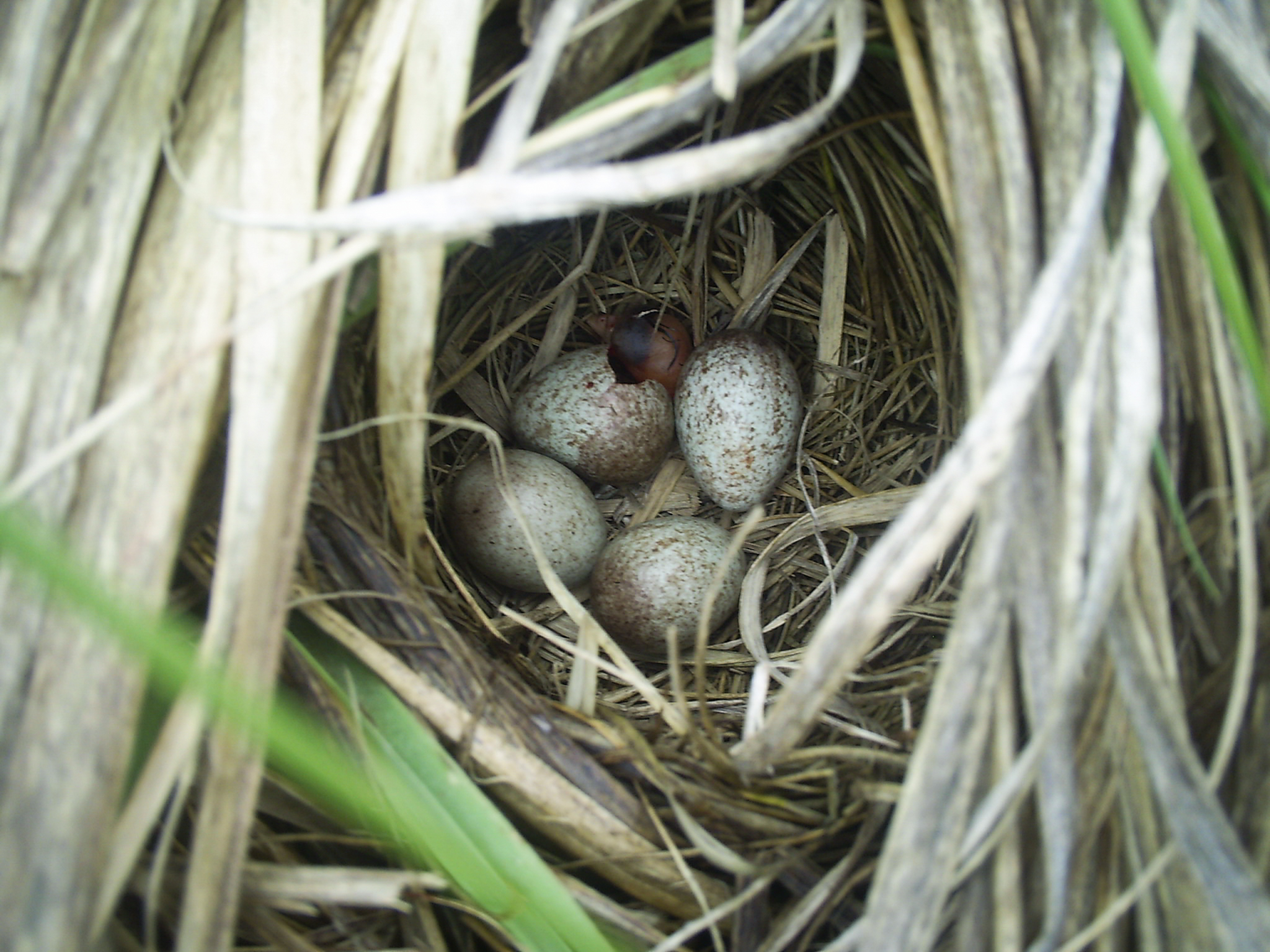 A hatching saltmarsh sparrow. Caption: A saltmarsh sparrow is the first to hatch in its clutch. Photo by Carolyn Byers