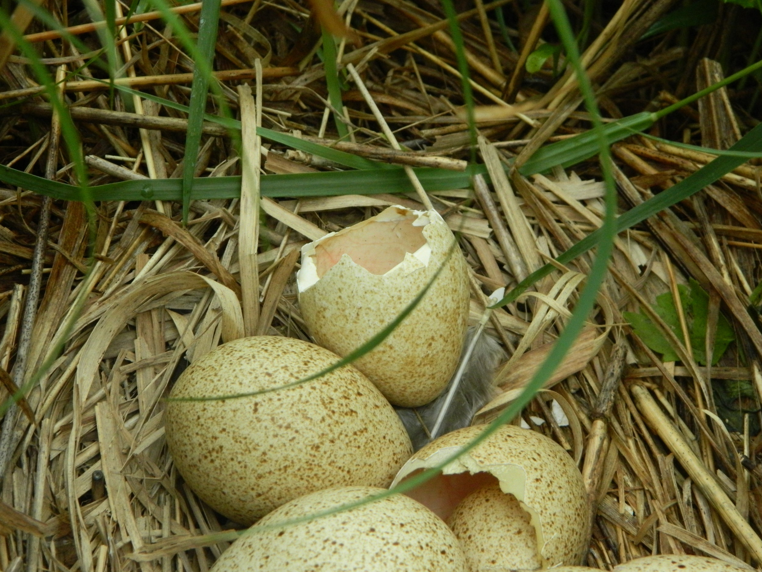 These wild turkey eggs are beautiful examples of neatly split shells. Photo by Carolyn Byers.