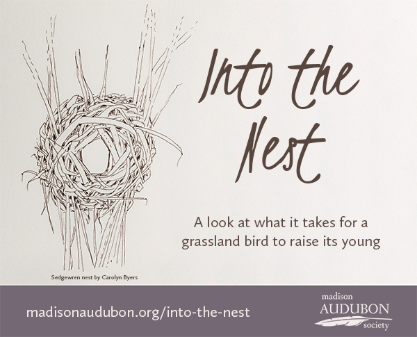 This series highlights the fascinating and marvelous ecology of grassland bird nesting, written by Madison Audubon education director Carolyn Byers. Click here for all of the Into the Nest posts.