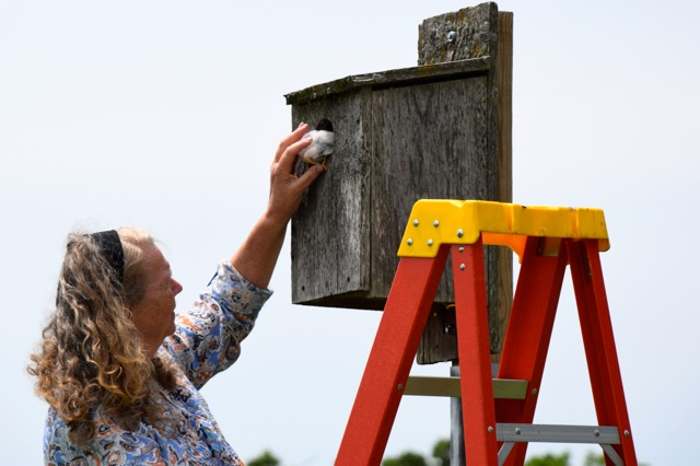 Janet Eschenbauch of Central Wisconsin Kestrel Research program carefully guides a kestrel chick into its nest box. Four orphaned kestrel chicks were placed into foster nests to be raised by wild kestrel parents and young. Photo by Stacy Taritas. June 15, 2018