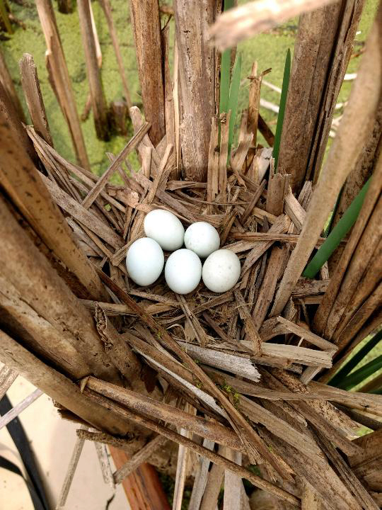 Least bittern nest, photo by Brand Smith