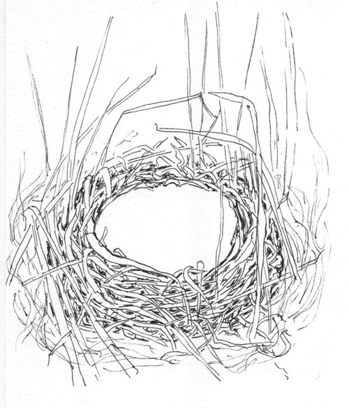 Henslow's sparrow nest, drawing by Carolyn Byers. Read more about Henslow's sparrow nesting in our    Into the Nest series   .