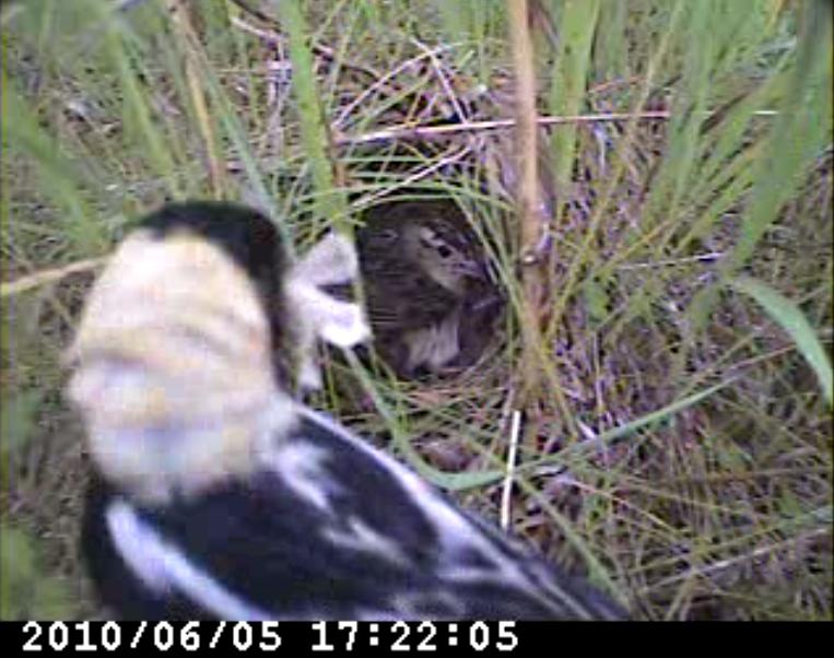 Bobolink parents make nearly 160 food deliveries to the nest in one day- those chicks keep them busy!