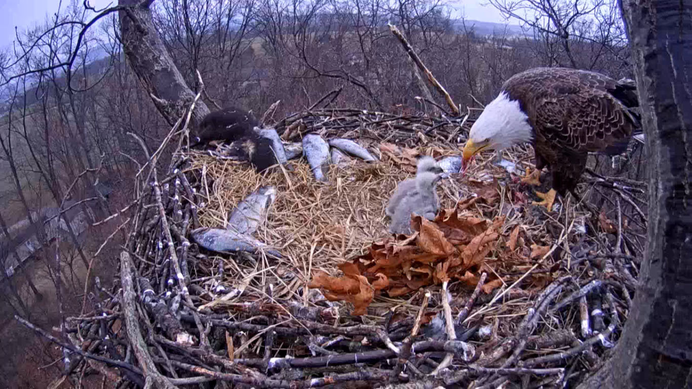 This photo from a bald eagle nest cam shows that the parents are stockpiling food. There is a dead skunk in the back left of the nest, as well as several dead fish. Those eaglets will be eating well! Photo credit: Marcus Schneck