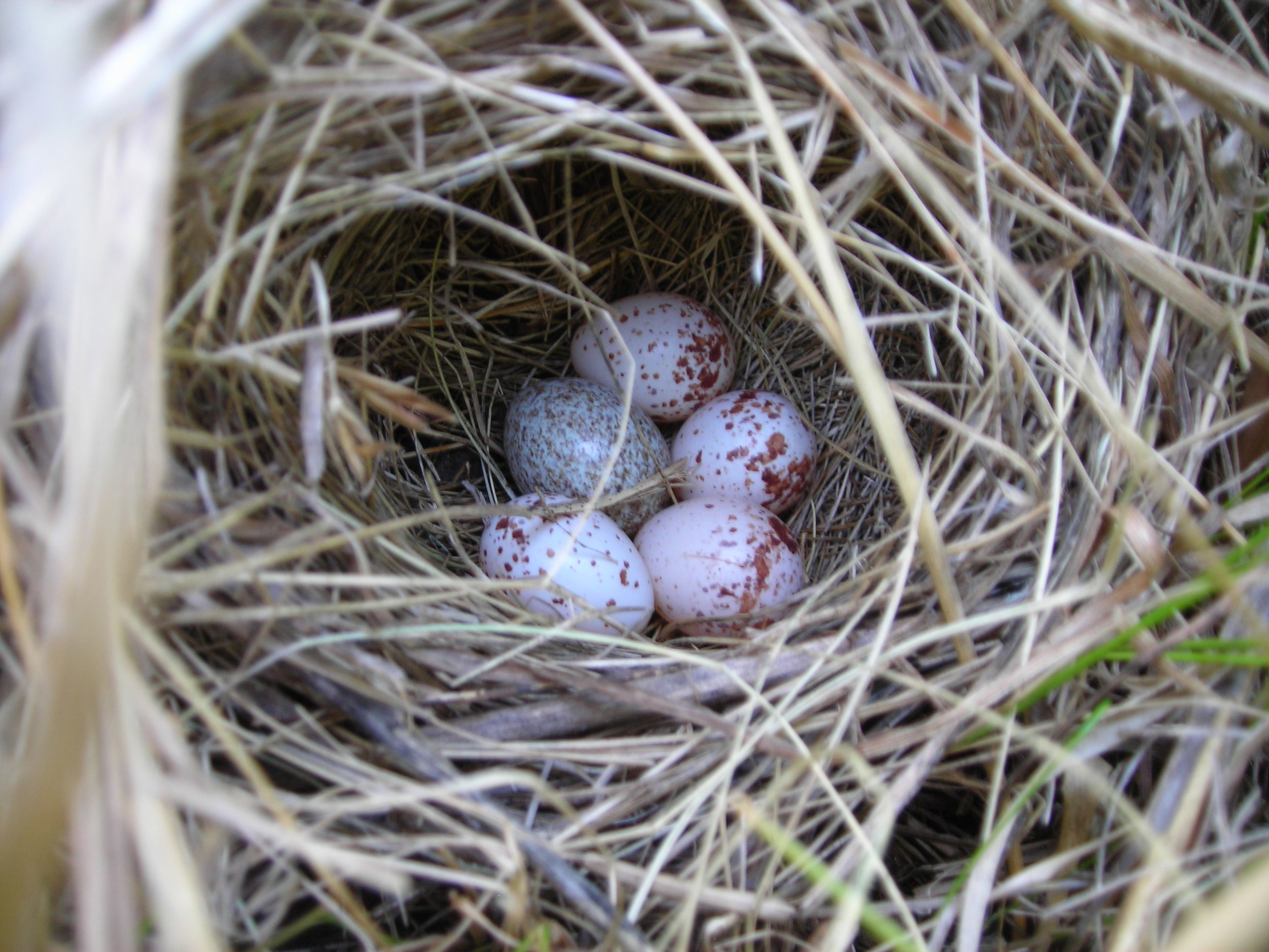 Grasshopper sparrow nest with cowbird egg.JPG