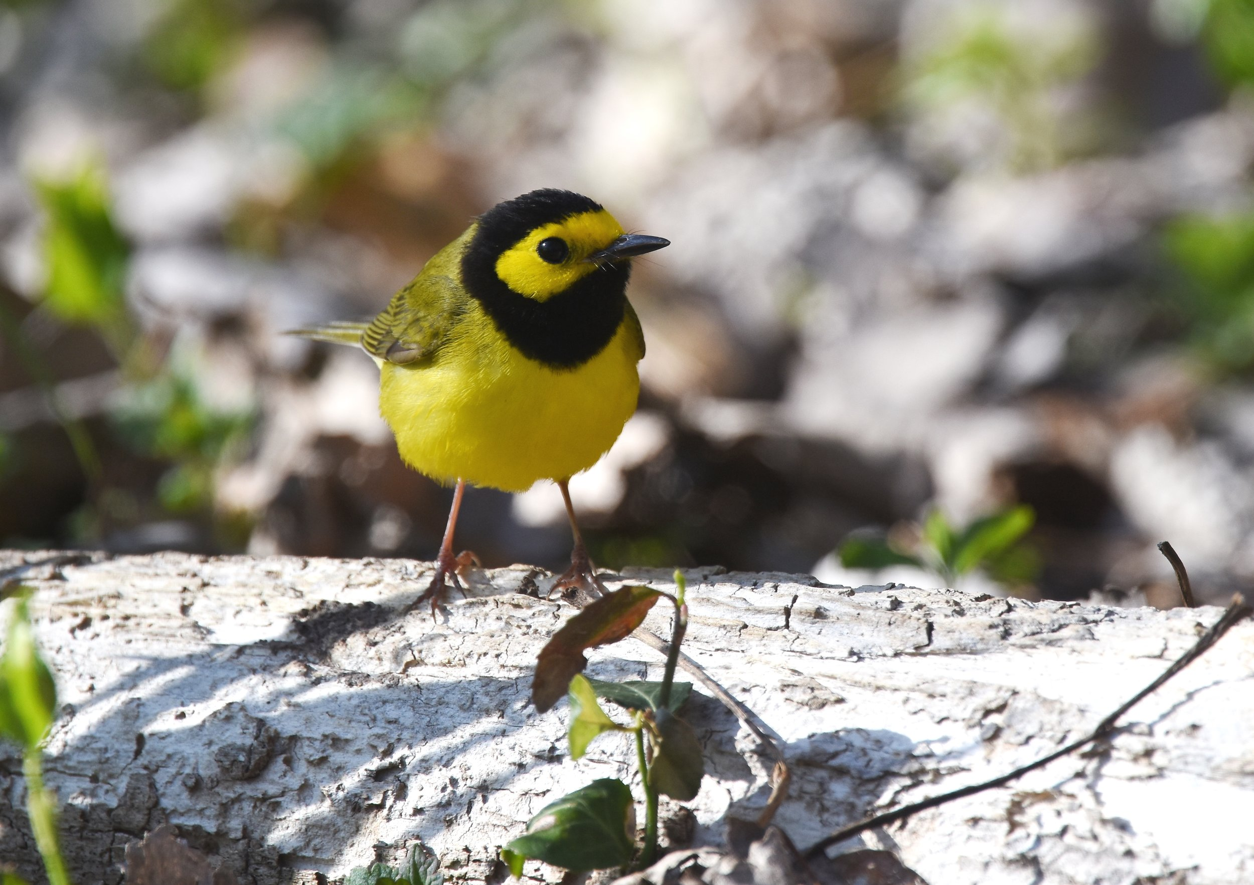 Hooded warbler, photo by Andy Reago & Chrissy McClarren