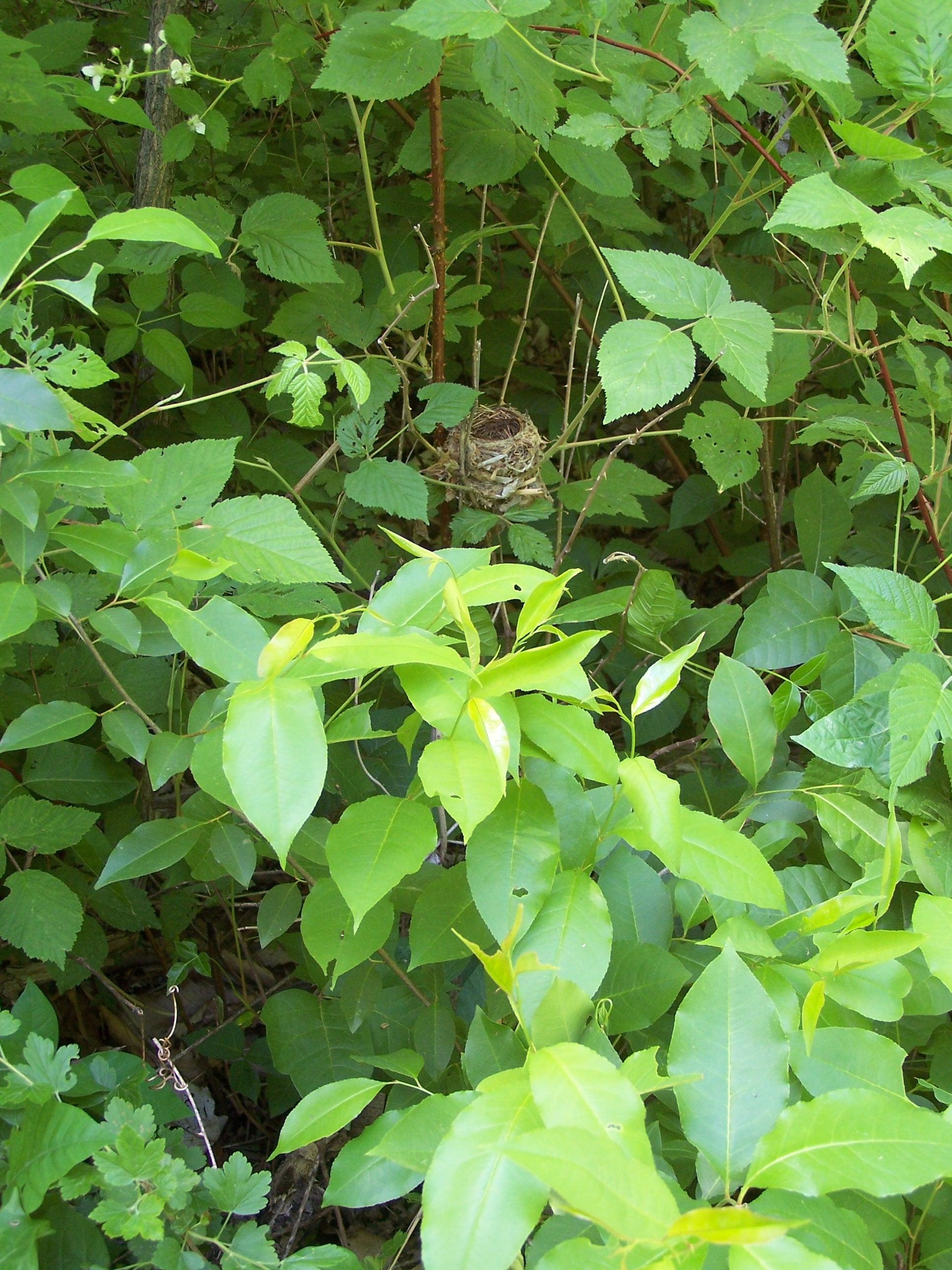 Hooded warbler nest, photo by Richard Bonnett