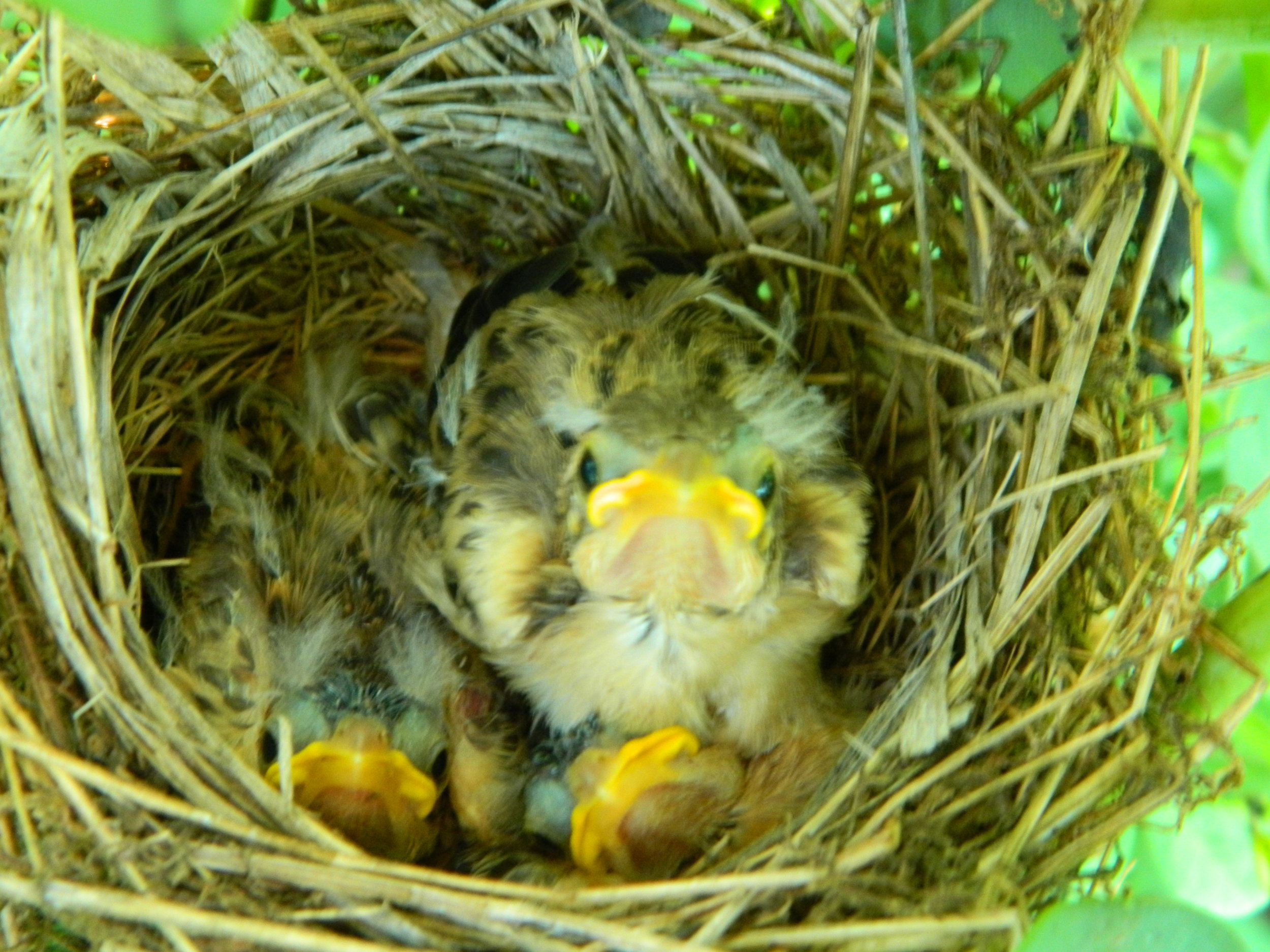 These dickcissel chicks are 8 days old and close to leaving the nest. Staying put a few extra days could make them better at surviving once they're out of the nest... but it also makes them easier targets for predators. Photo by Carolyn Byers