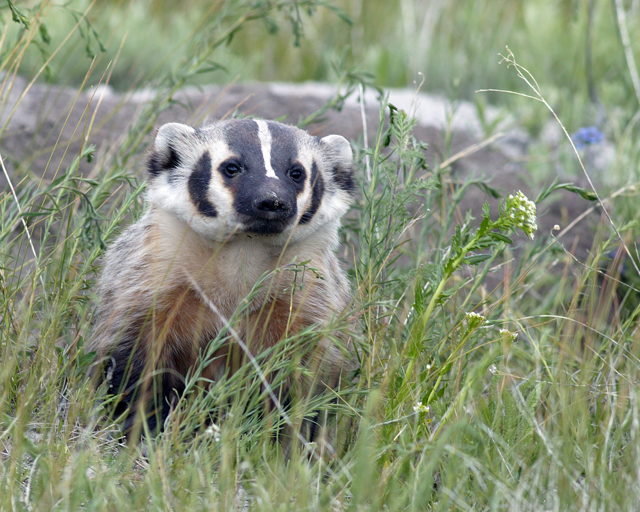 An American badger peeks up through the grass, perhaps looking for a nest to predate. Photo by James Perdue