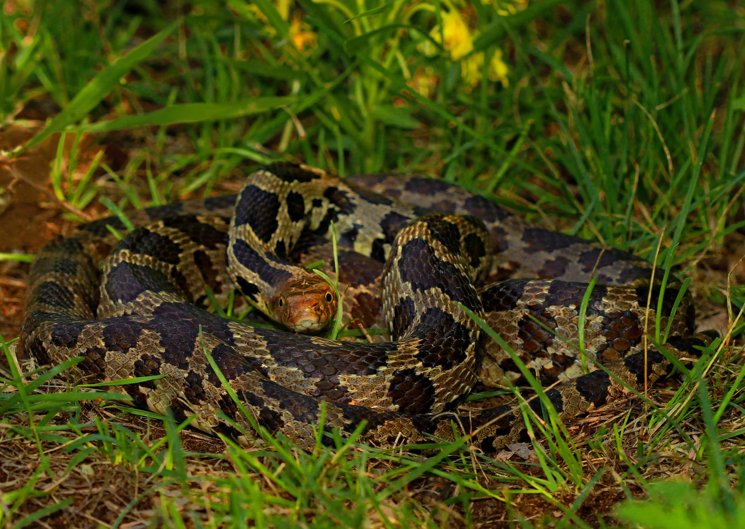 A coiled-up eastern fox snake looks fiercely at the camera. Photo by Peter Paplanus