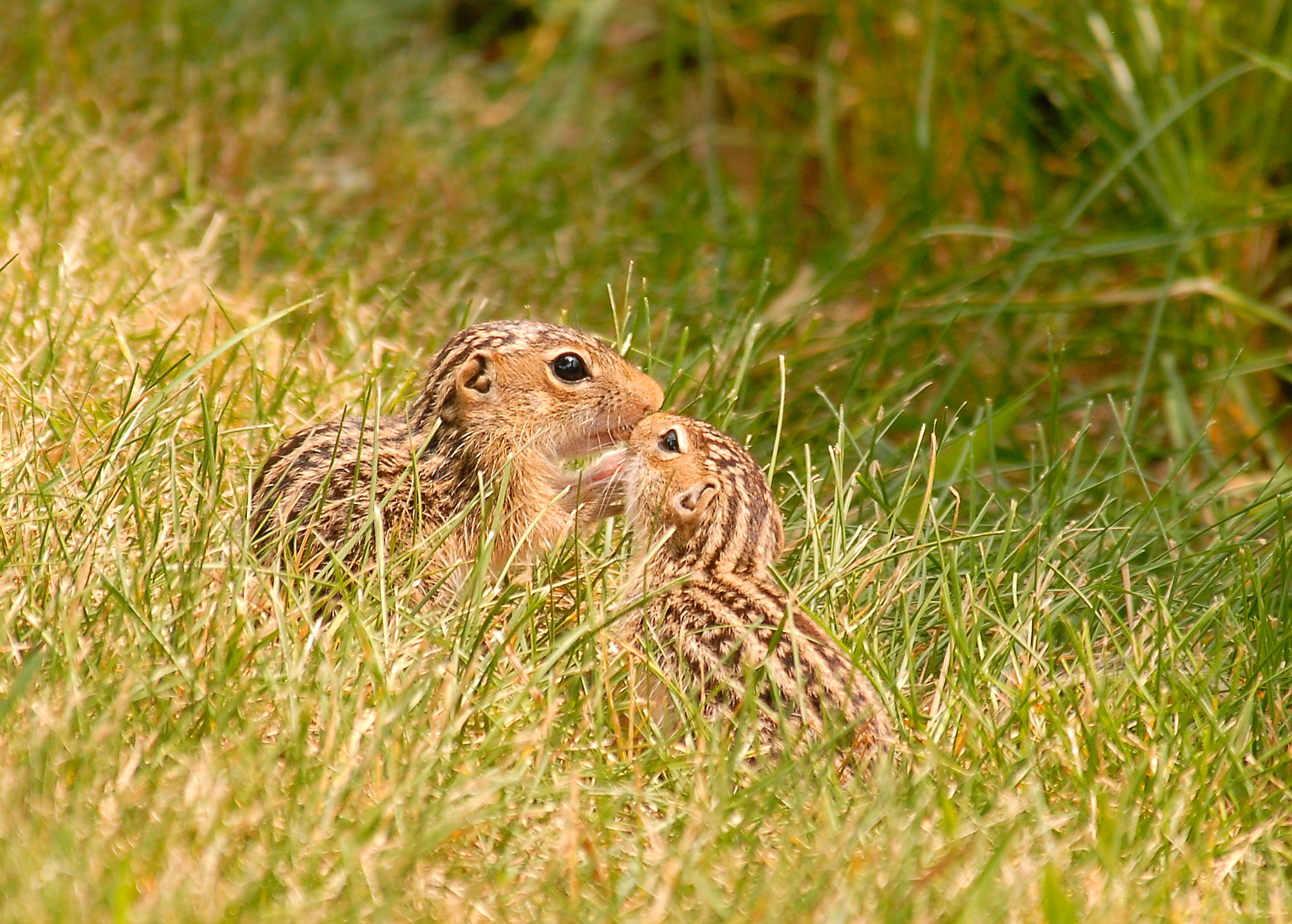 These two thirteen-lined ground squirrels look playful, but they can wreck havoc on grassland bird nests. Photo by Josh More