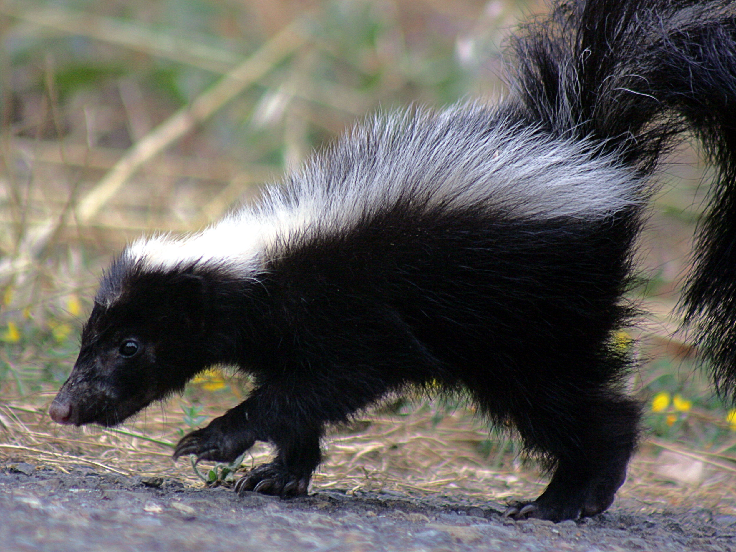 Eggs are one of striped skunks' favorite snacks. Photo by TJ Gehling