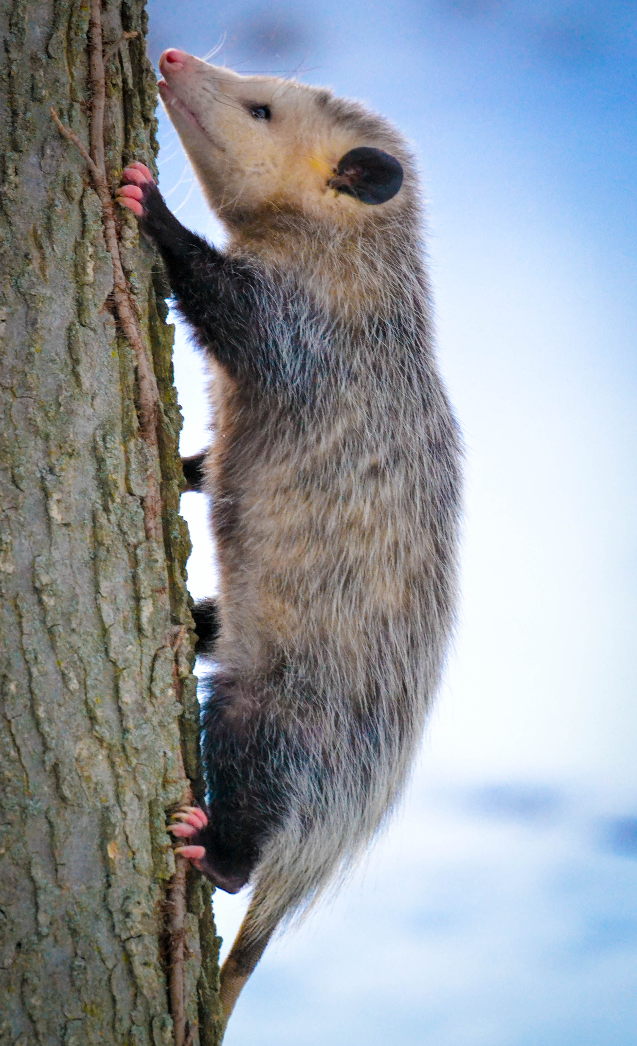 An opossum climbs straight up on a tree. These critters are excellent night-time predators. Photo by Andrew Cannizzaro