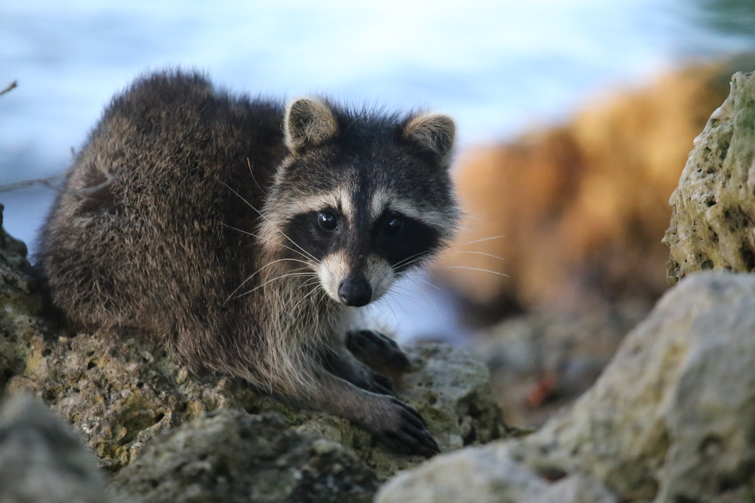 A small racoon looks innocently at the camera. Photo by cuatrok77