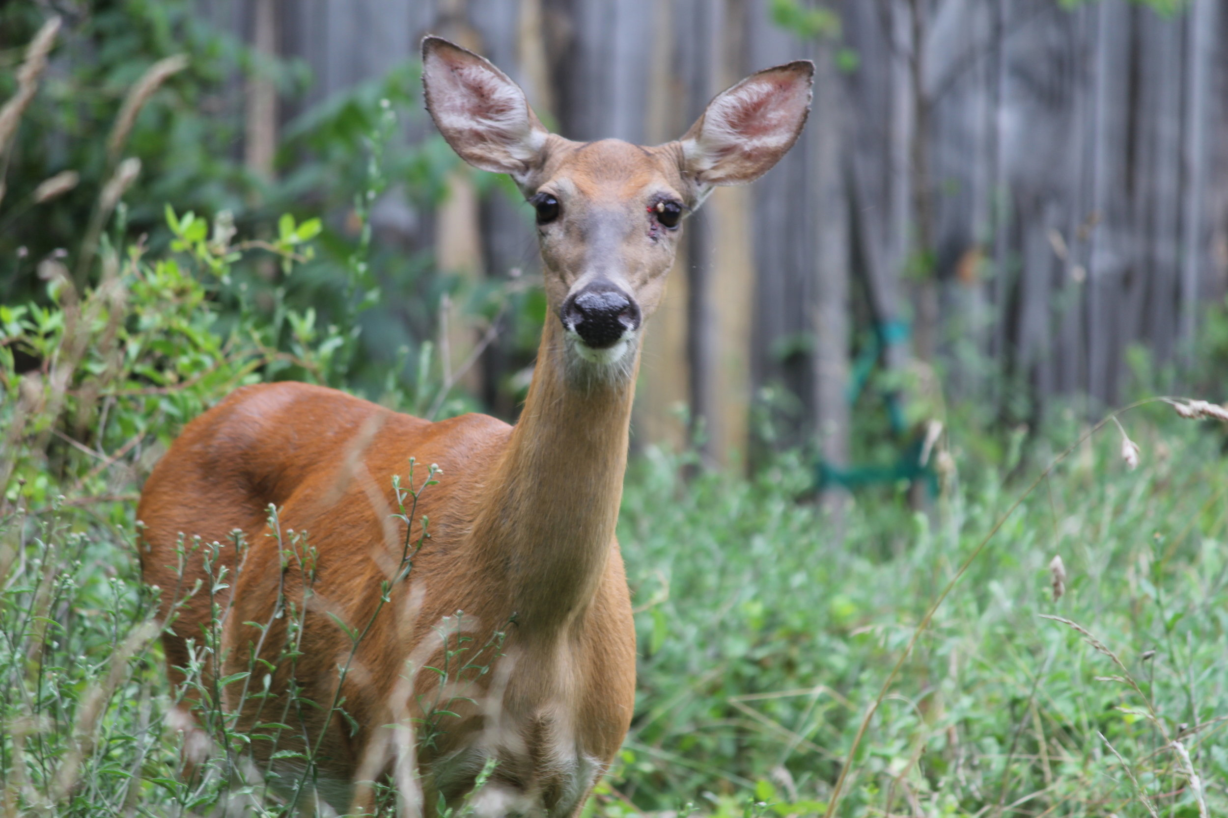 White-tailed deer are not a likely predator but can still pick off a chick. Photo by Shane Kemp