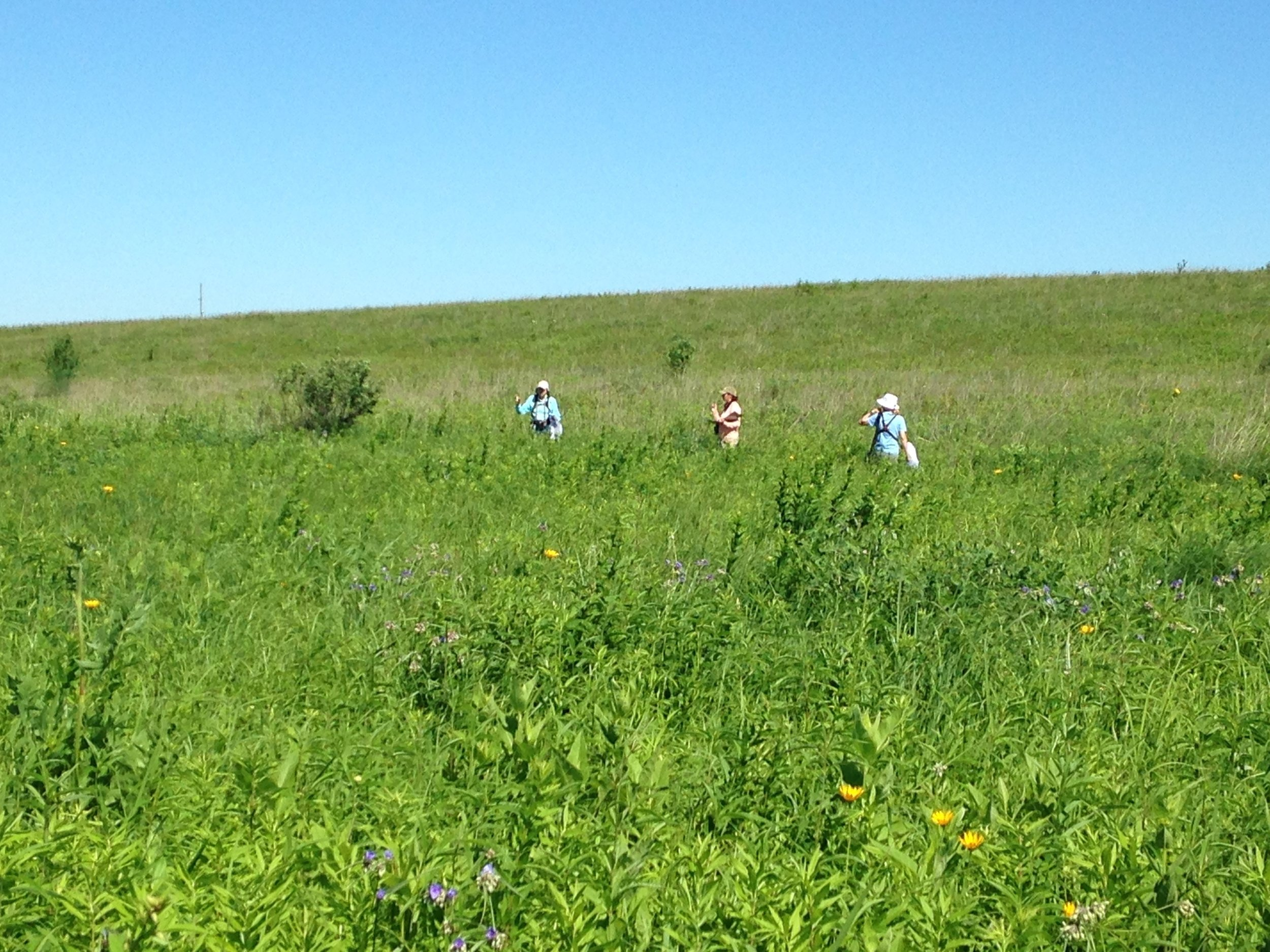 A lovely stroll in the prairie can become dangerous for grassland nesting birds if we pay too close attention to their nests! MAS Photo