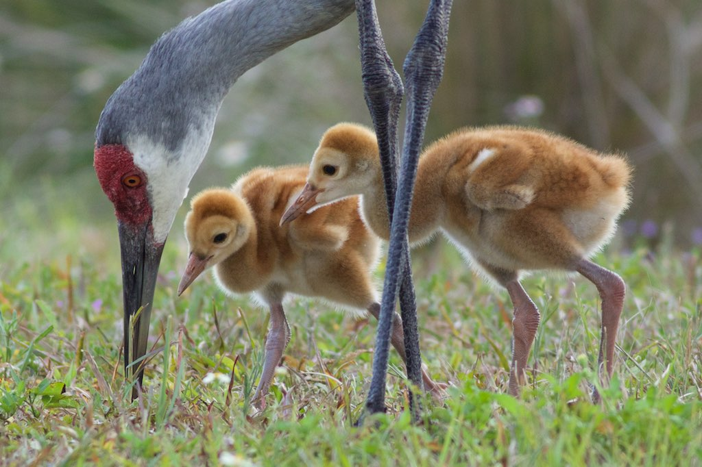 Attentive care now leads to great strength later for these young sandhill crane colts. Photo by Arlene Koziol.