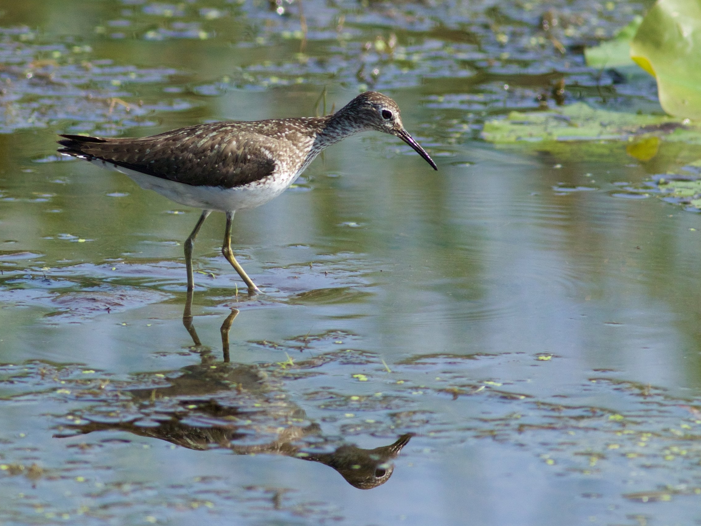 Lesser yellowlegs in Goose Pond. Photo by Arlene Koziol