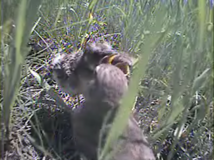Chicks call their nest home for their first few weeks of life, but the activity surrounding a nest could attract predators. Image from nest camera videos (see credit at bottom).
