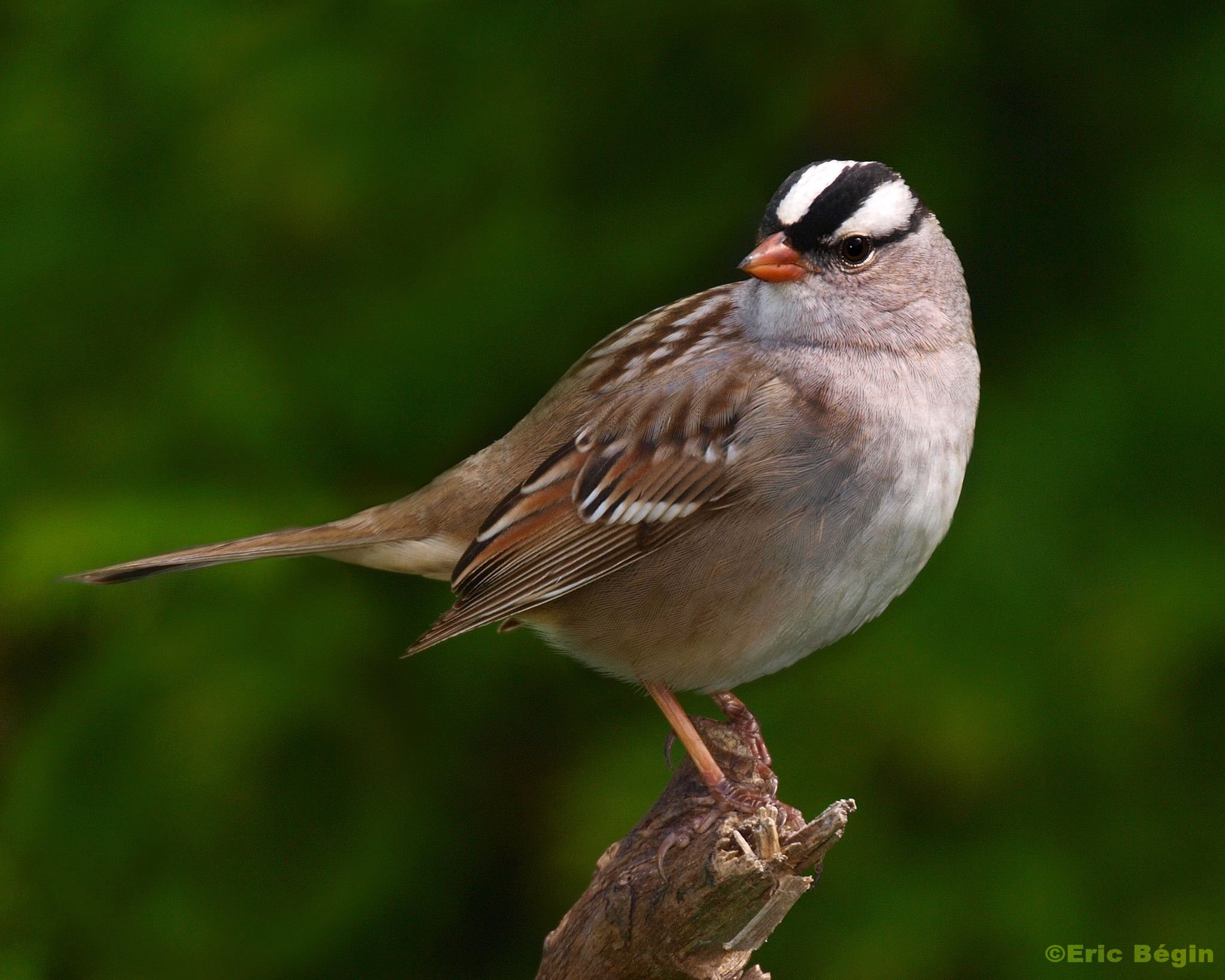 White-crowned sparrow, photo by Eric Bégin