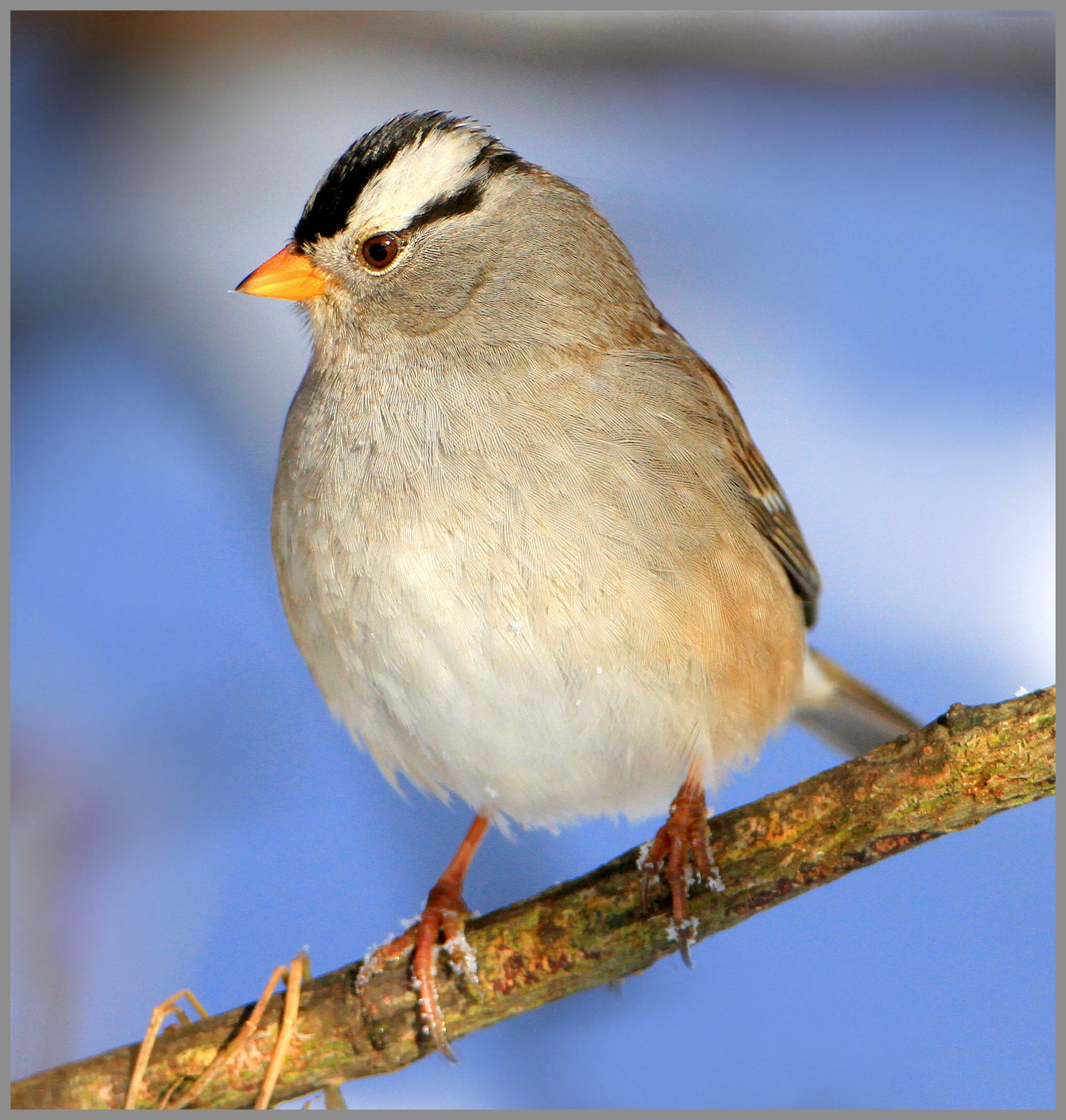 White-crowned sparrow, photo by Nigel