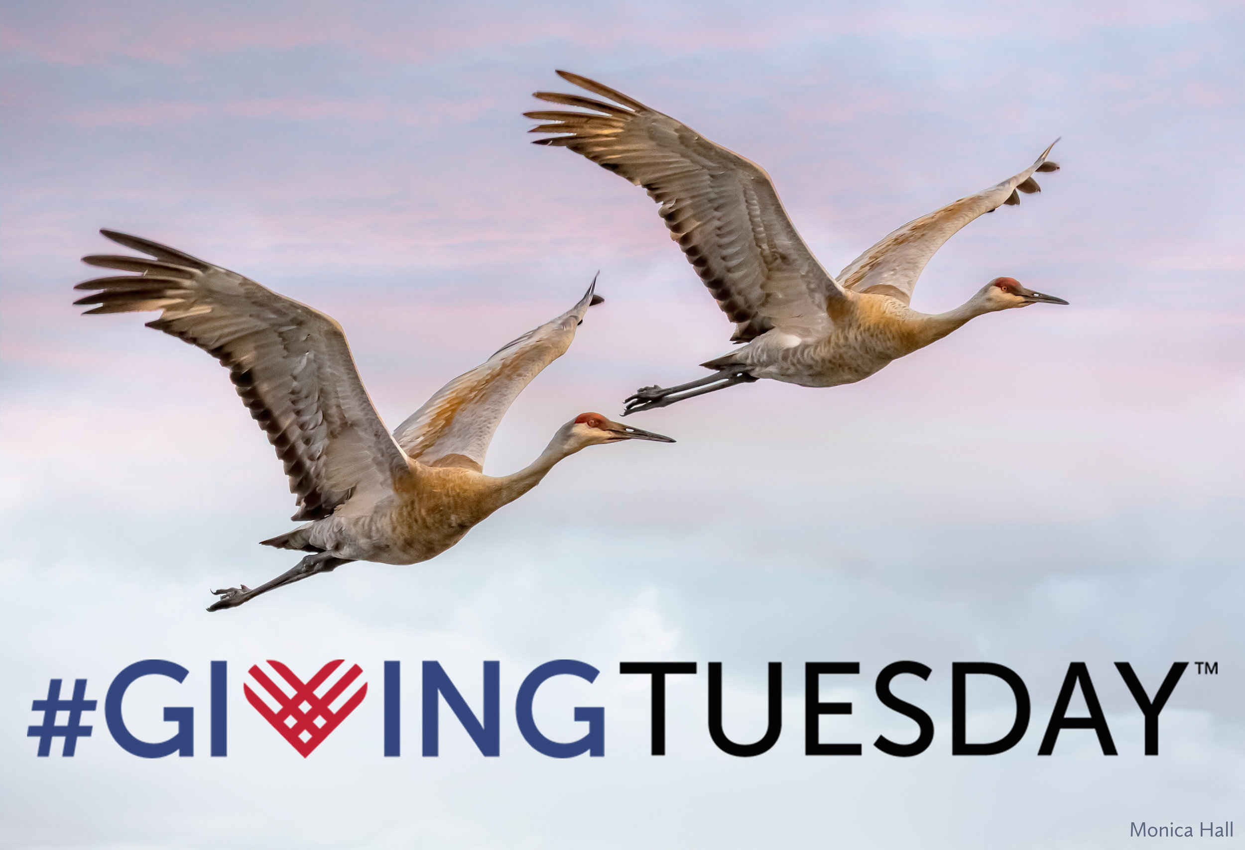 Sandhill cranes are in a hurry to join in on #GivingTuesday! Photo by Monica Hall