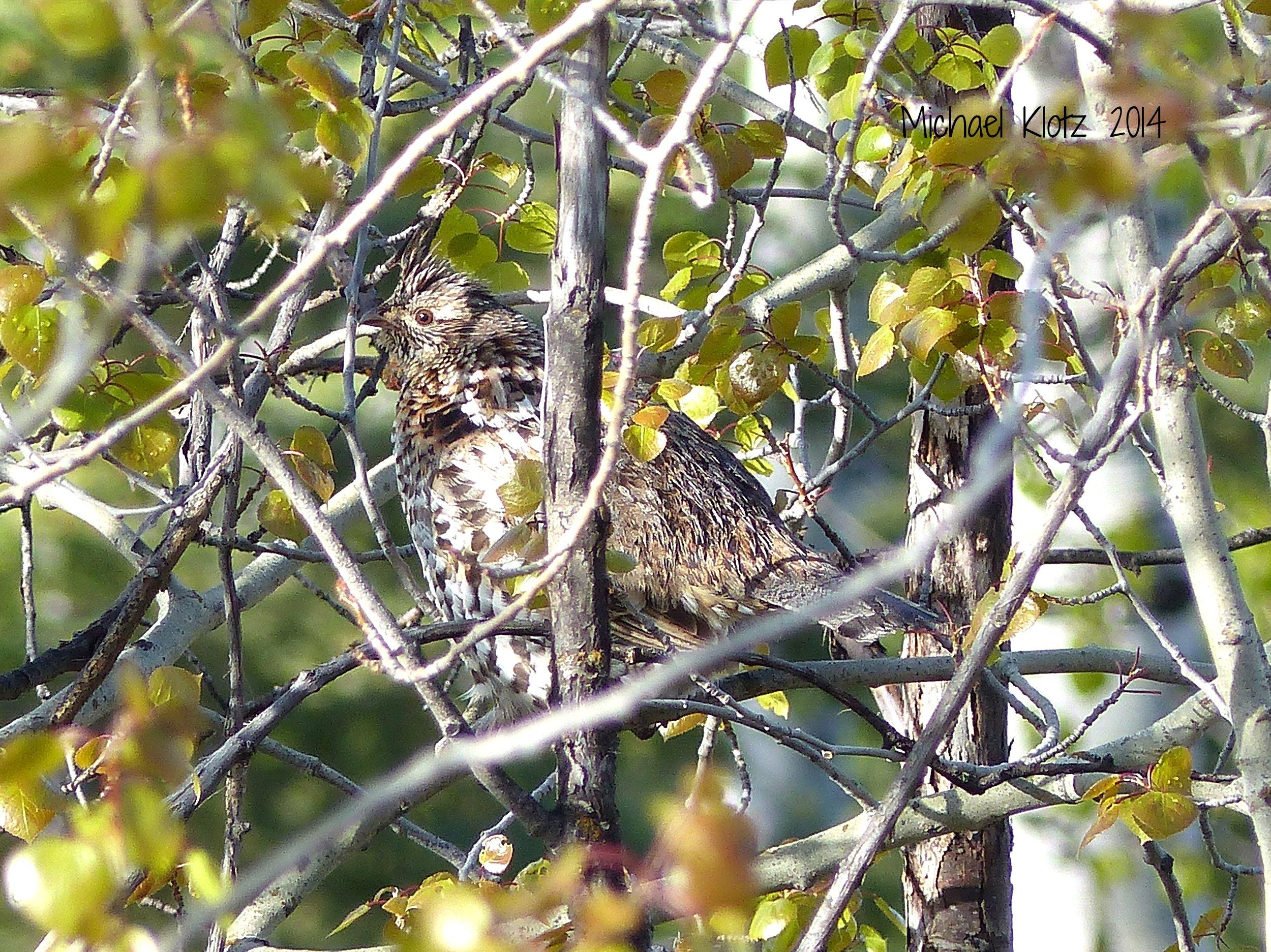 A ruffed grouse perches in an aspen tree. Photo by Michael Klotz