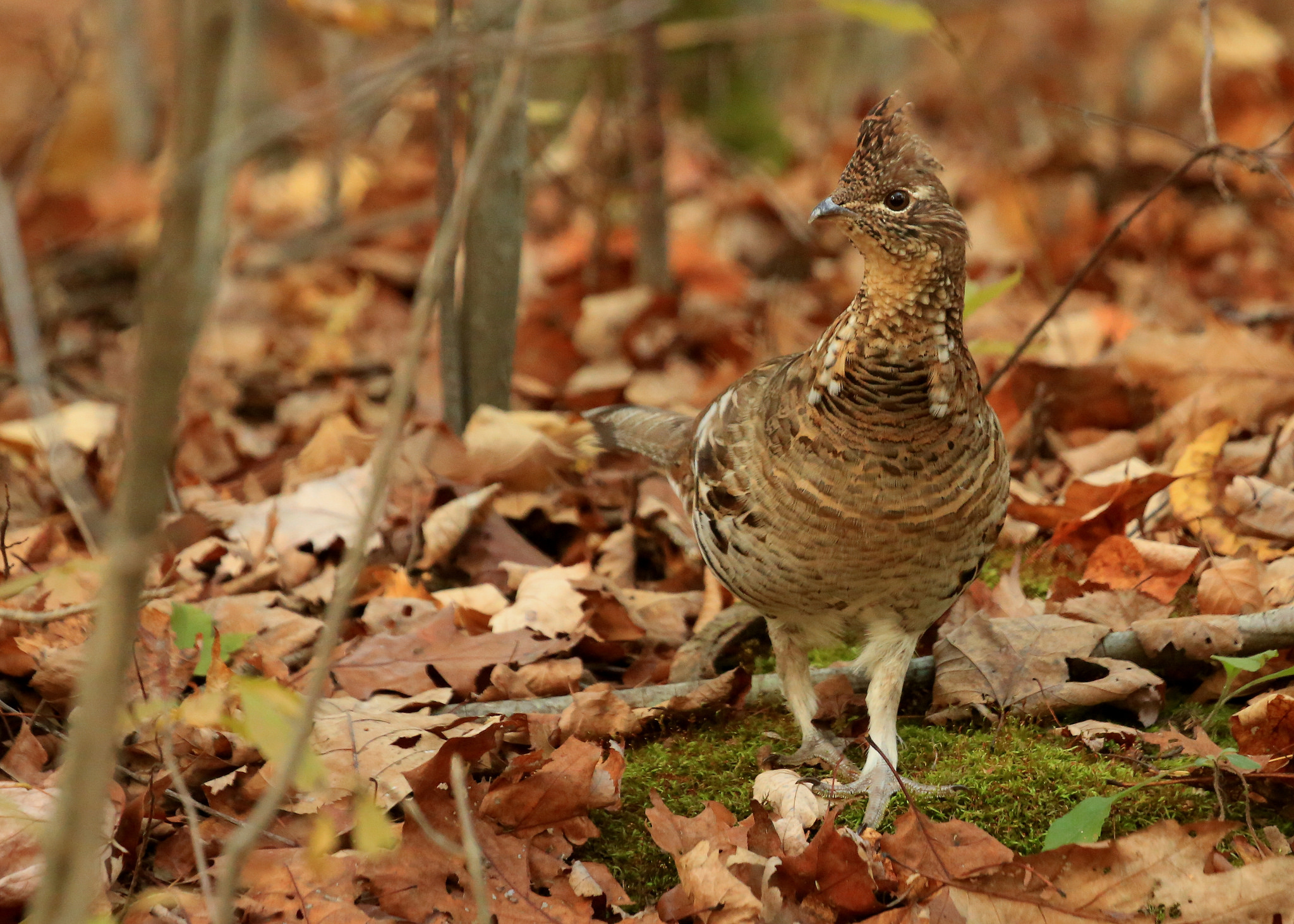 A ruffed grouse struts through a woodland with oak leaves and moss covering the ground. Photo by Tim Lenz