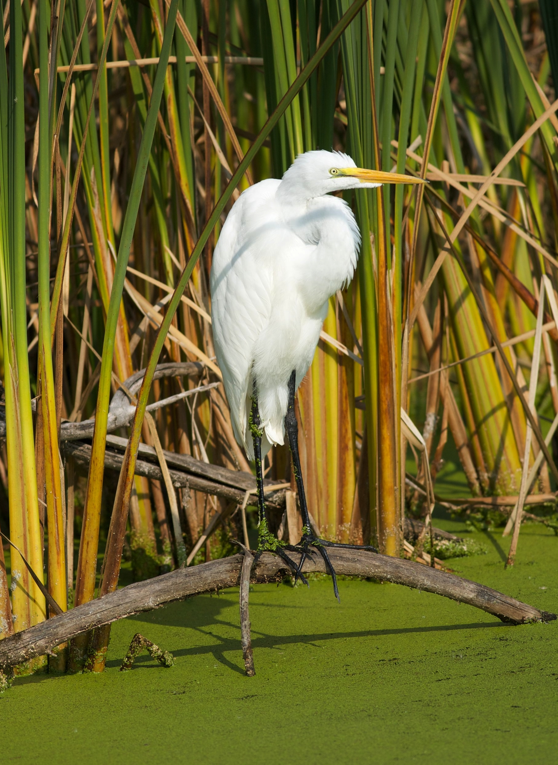 A great egret soaks up the sights of a protected wetland. Photo by Arlene Koziol