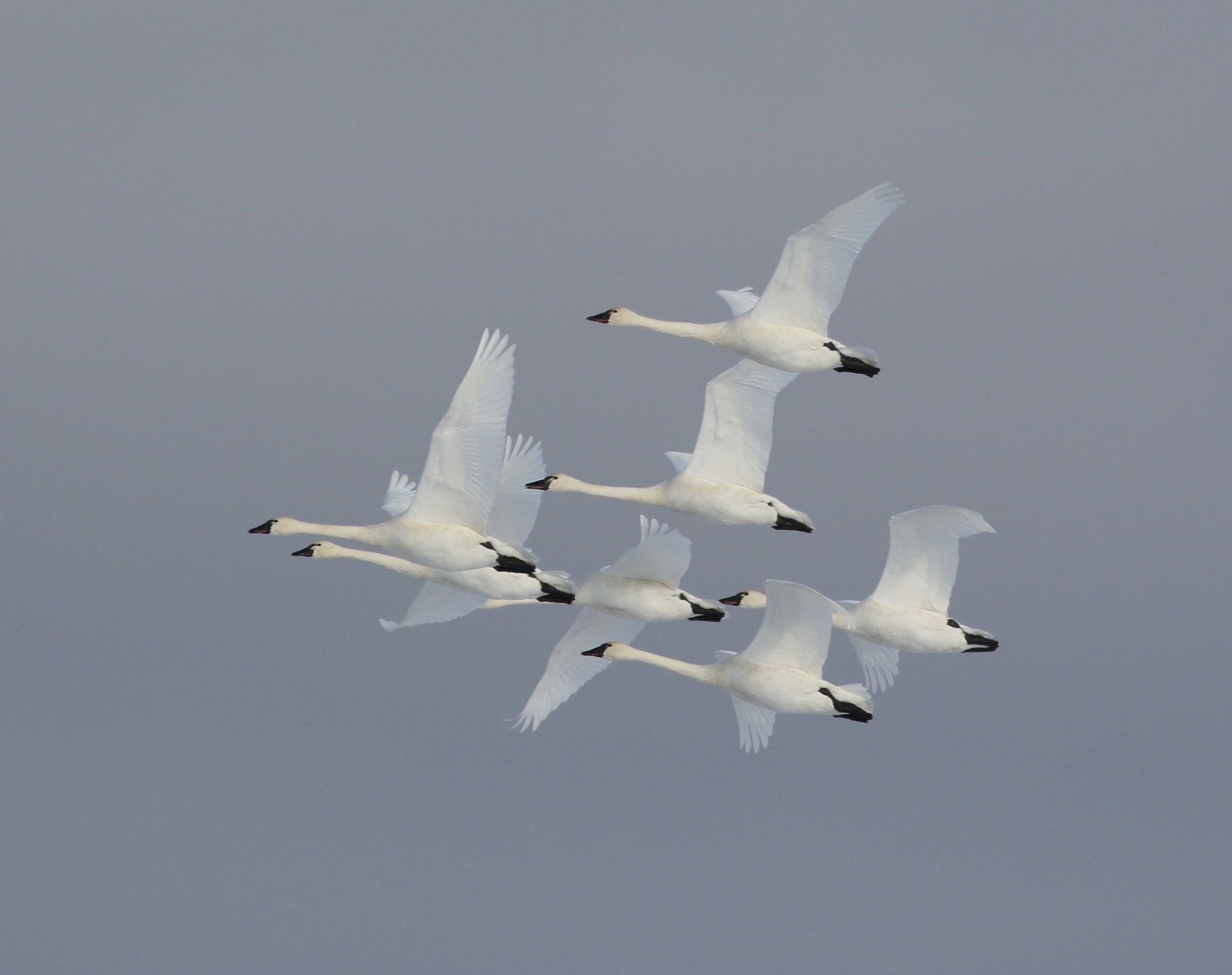 Tundra swans ( Cygnus columbianus ) in flight.  Photo by Terrill Knaack
